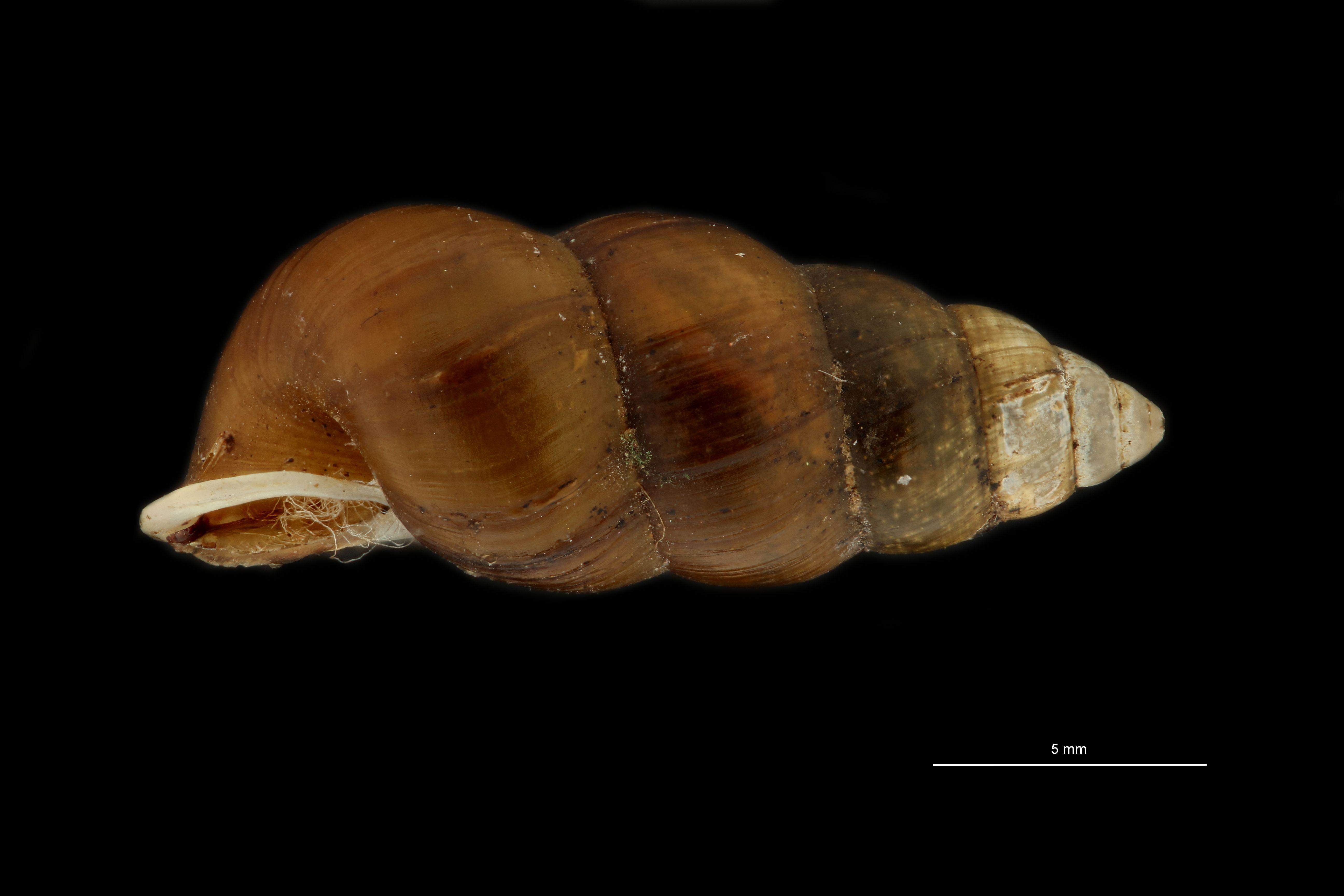 BE-RBINS-INV MT 948 Coptocheilus inermis pt L.jpg