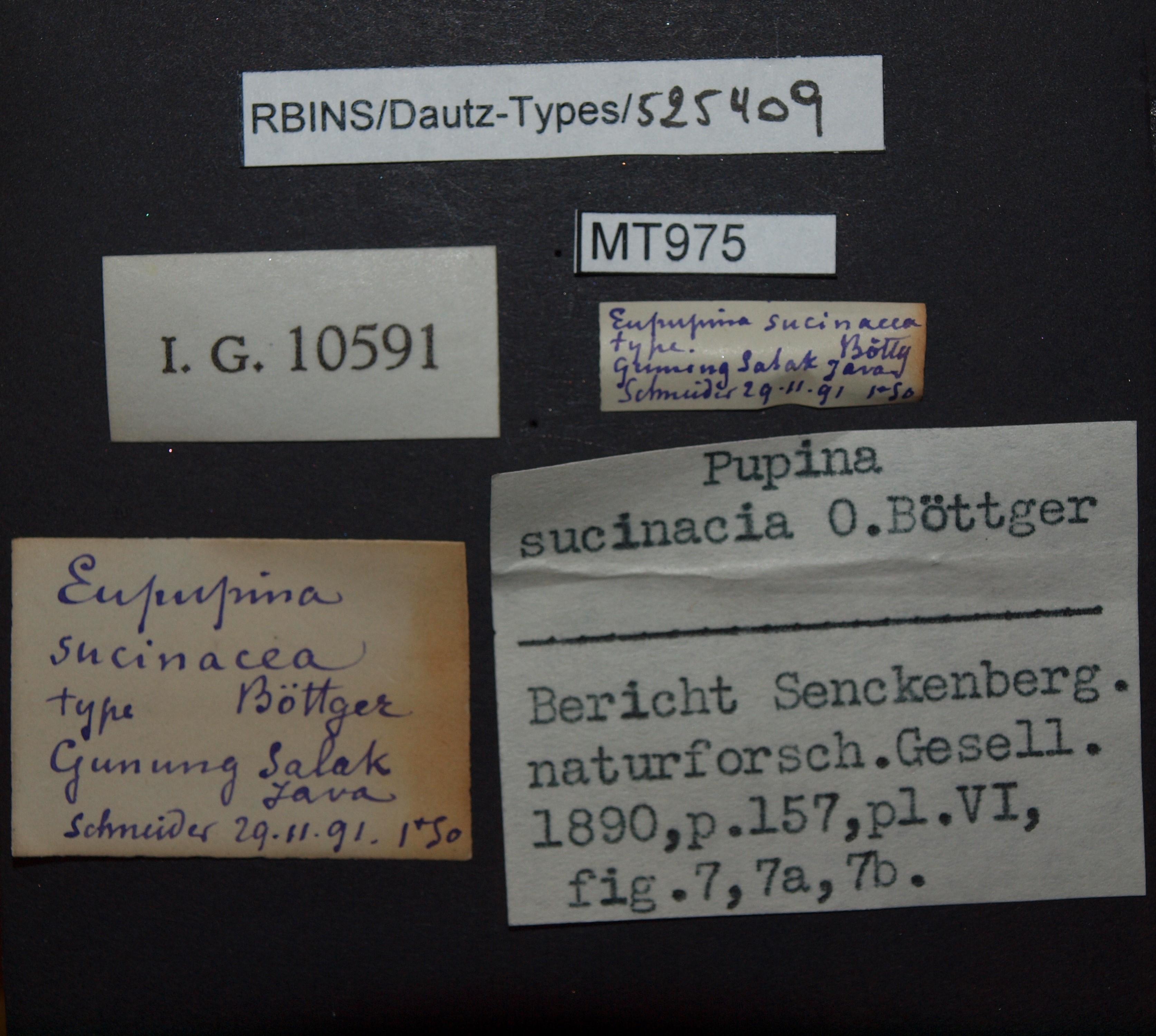 BE-RBINS-INV PARATYPE MT 975 Eupupina sucinacea LABELS.jpg