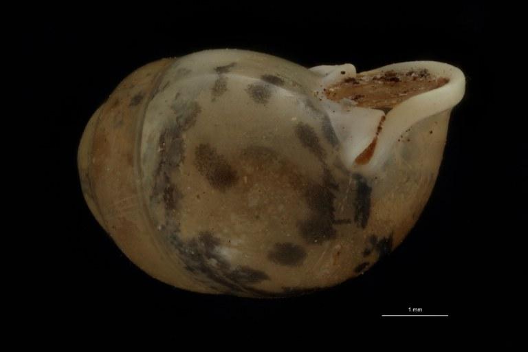 BE-RBINS-INV PARATYPE MT 972 Pupina (Tylotoechus) paviei LATERALL.jpg