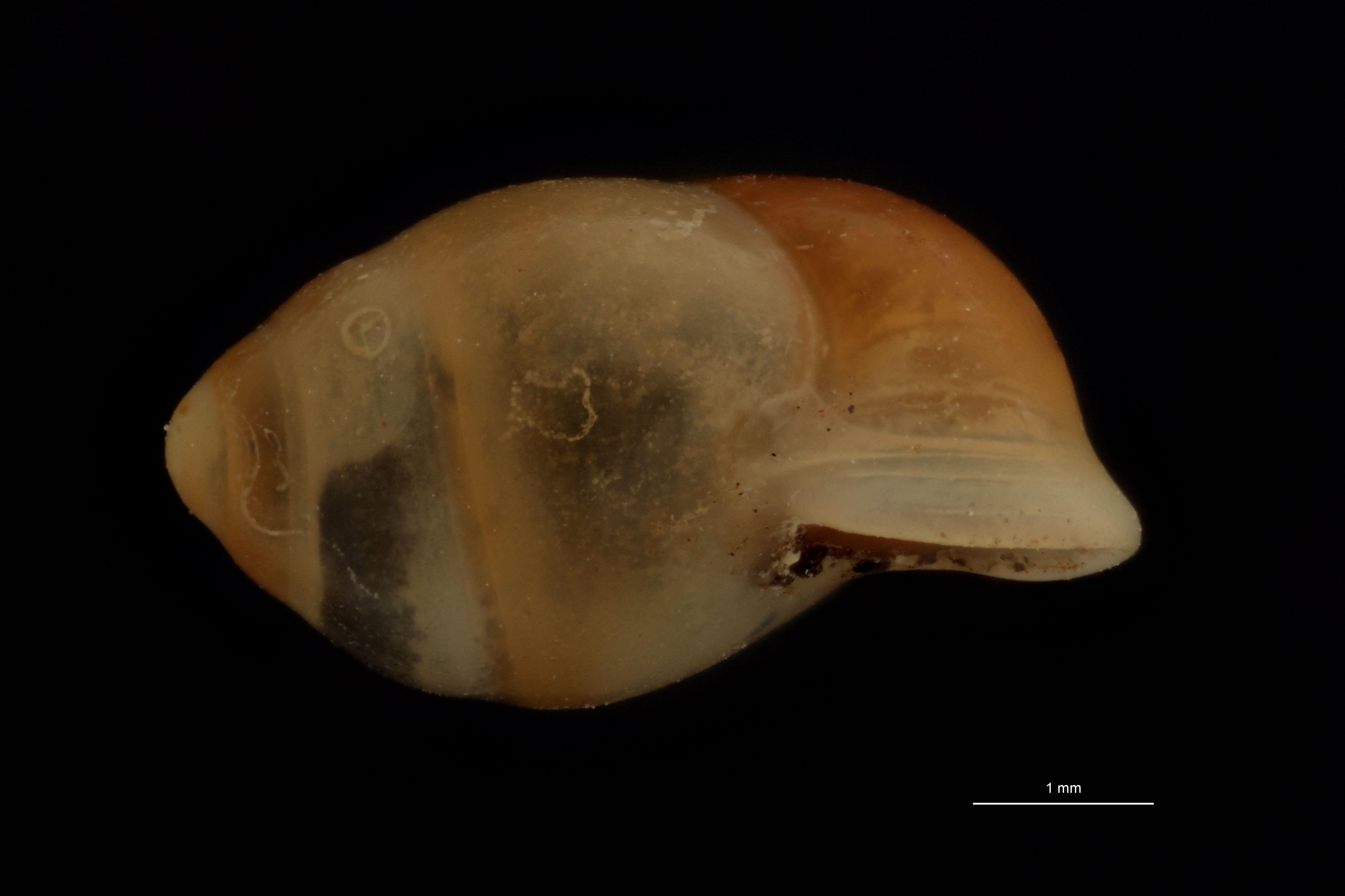 BE-RBINS-INV PARATYPE MT 971 Pupina (Porocallia) mirabilis LATERAL.jpg