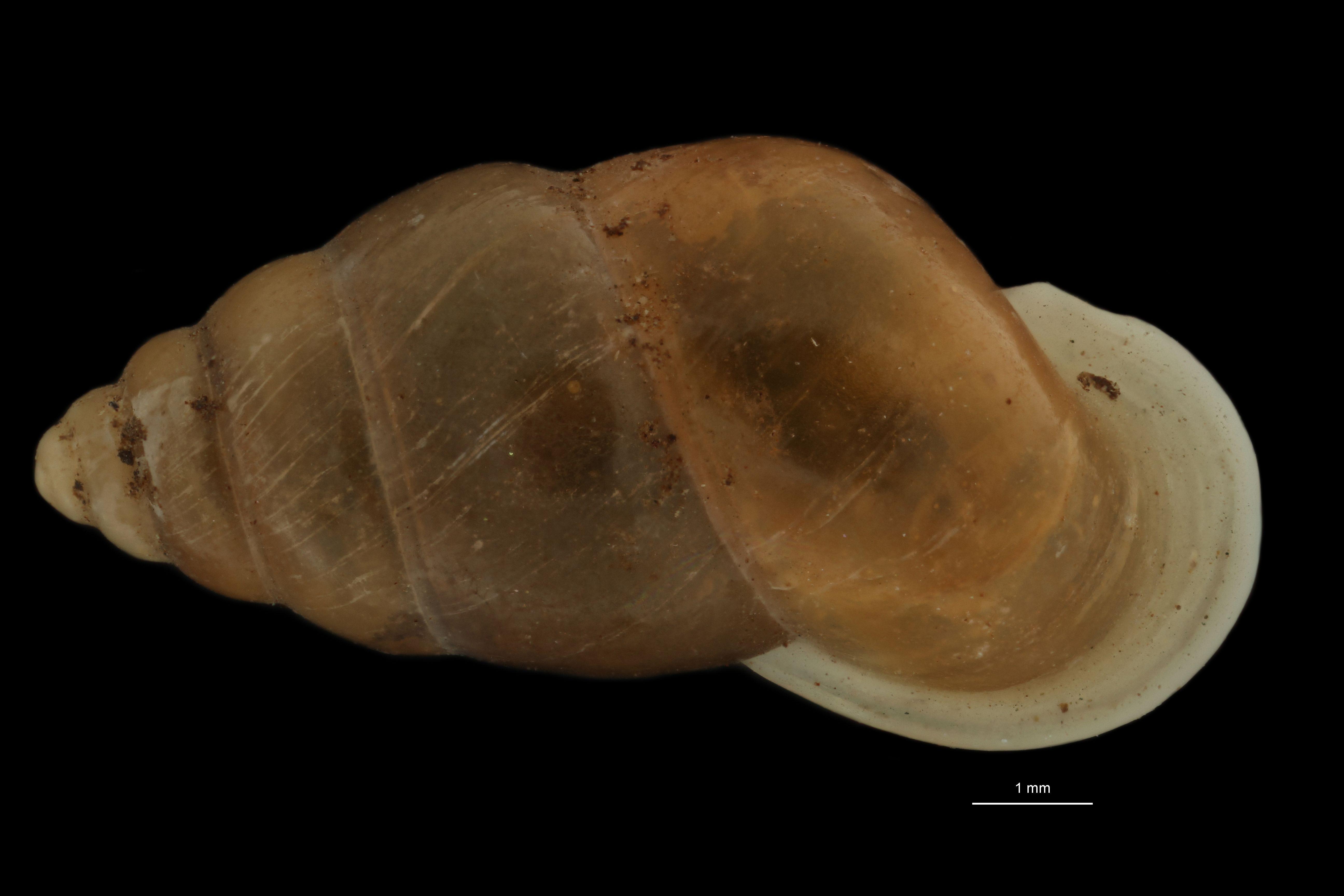 BE-RBINS-INV MT.976/2 Pupina (Tylotoechus) tonkiana pt D.jpg