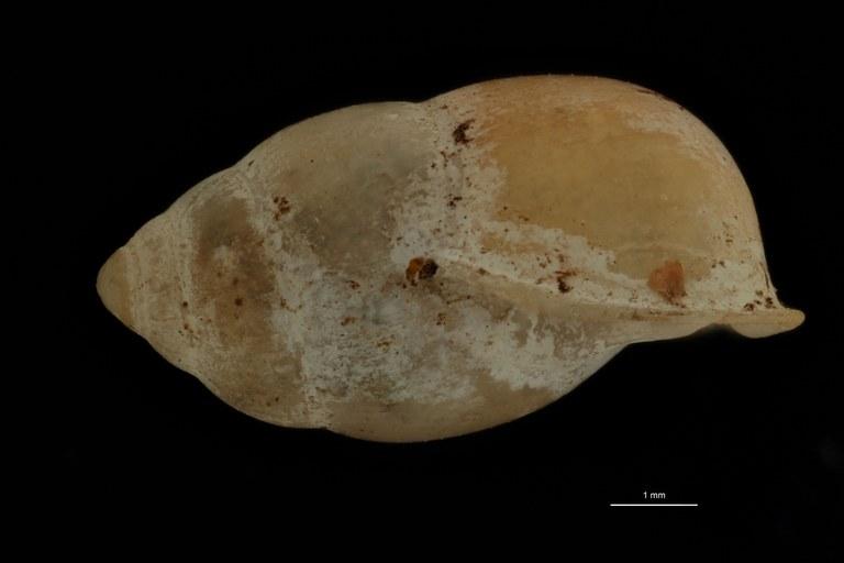 BE-RBINS-INV PARATYPE MT 966 Pupina (Tylotoechus) crosseana LATERAL.jpg