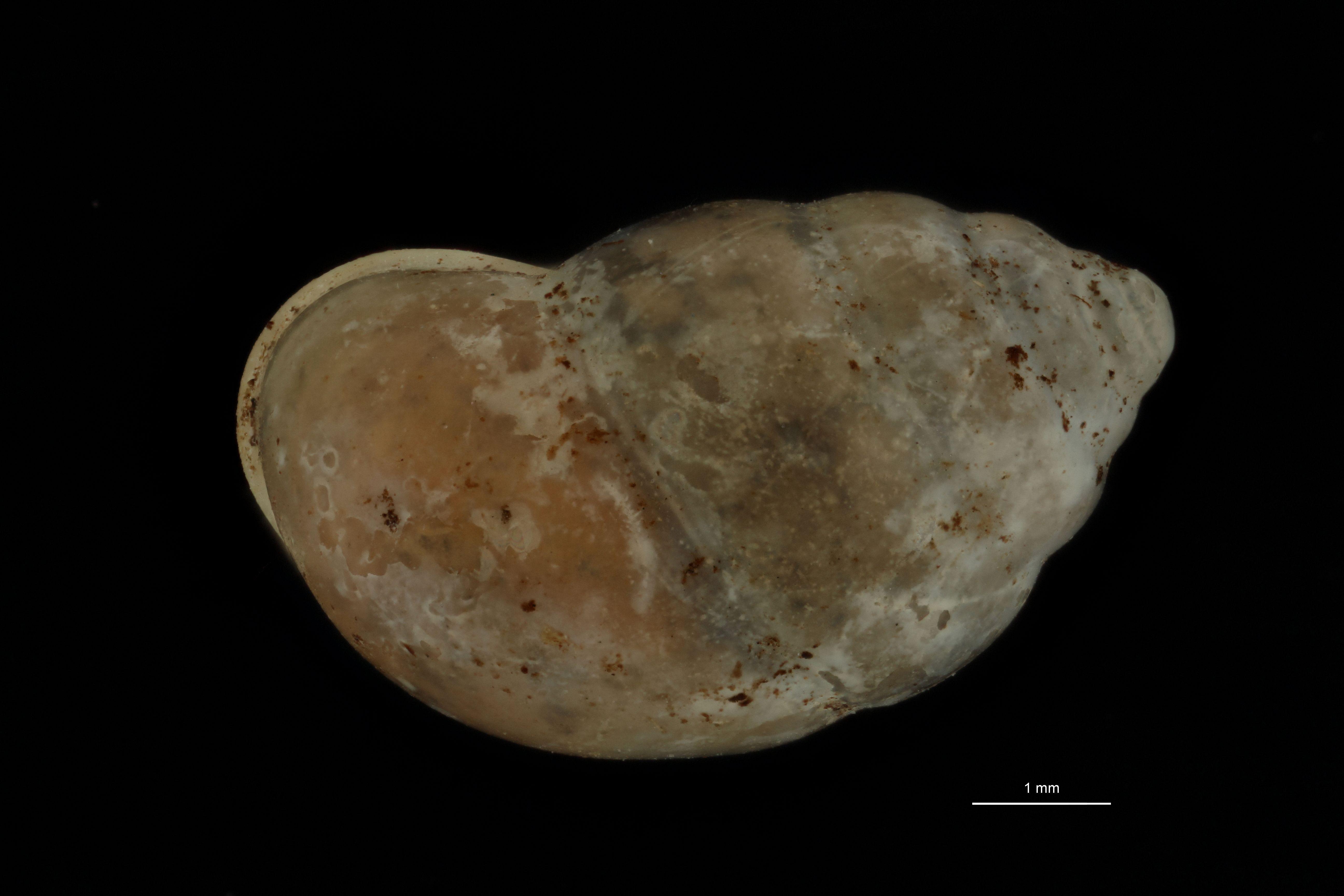 BE-RBINS-INV PARATYPE MT 967 Pupina (Tylotoechus) ephippium DORSAL.jpg