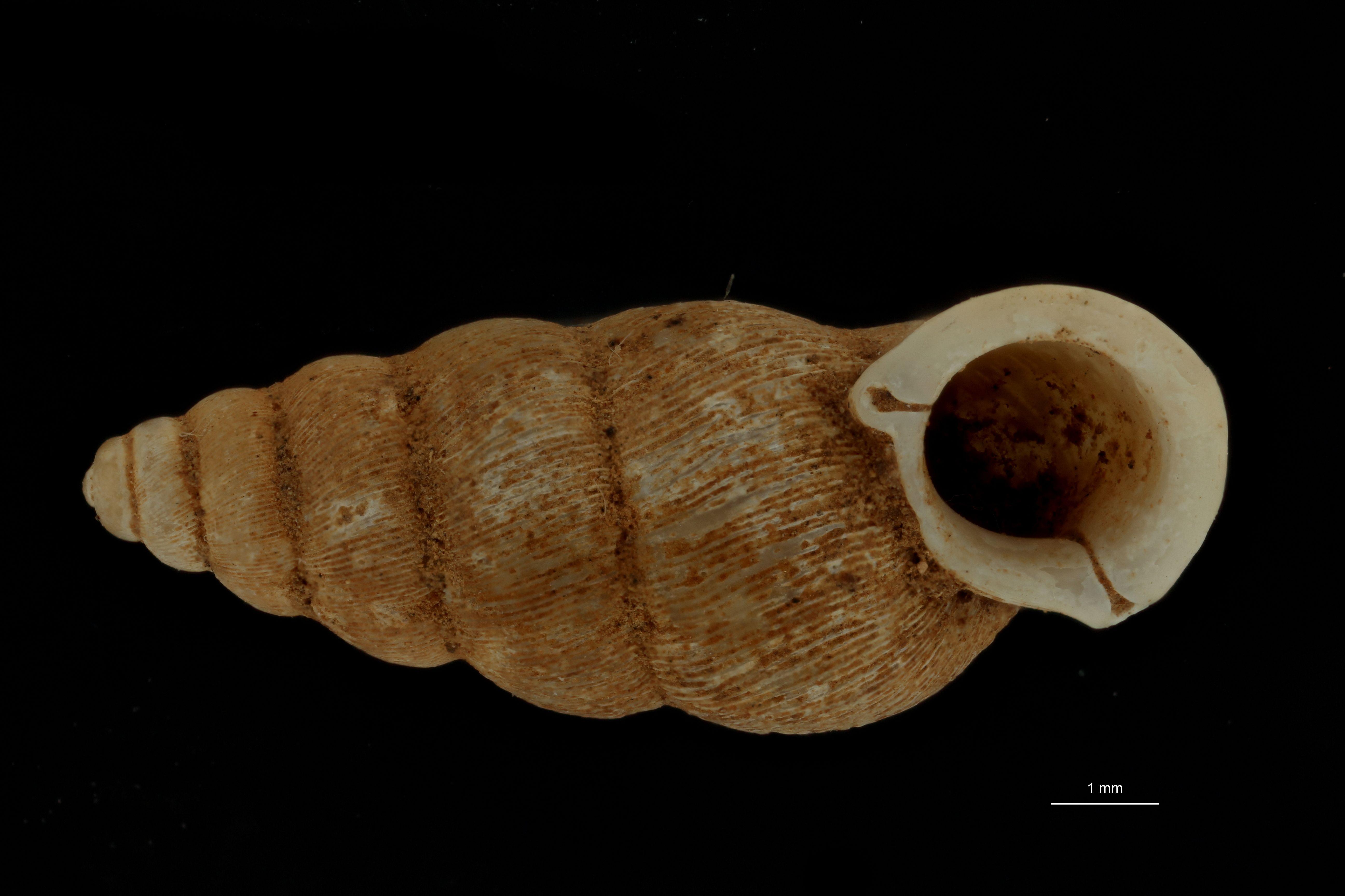 BE-RBINS-INV PARATYPE MT 953 Pupinella densecostata FRONTALF.jpg