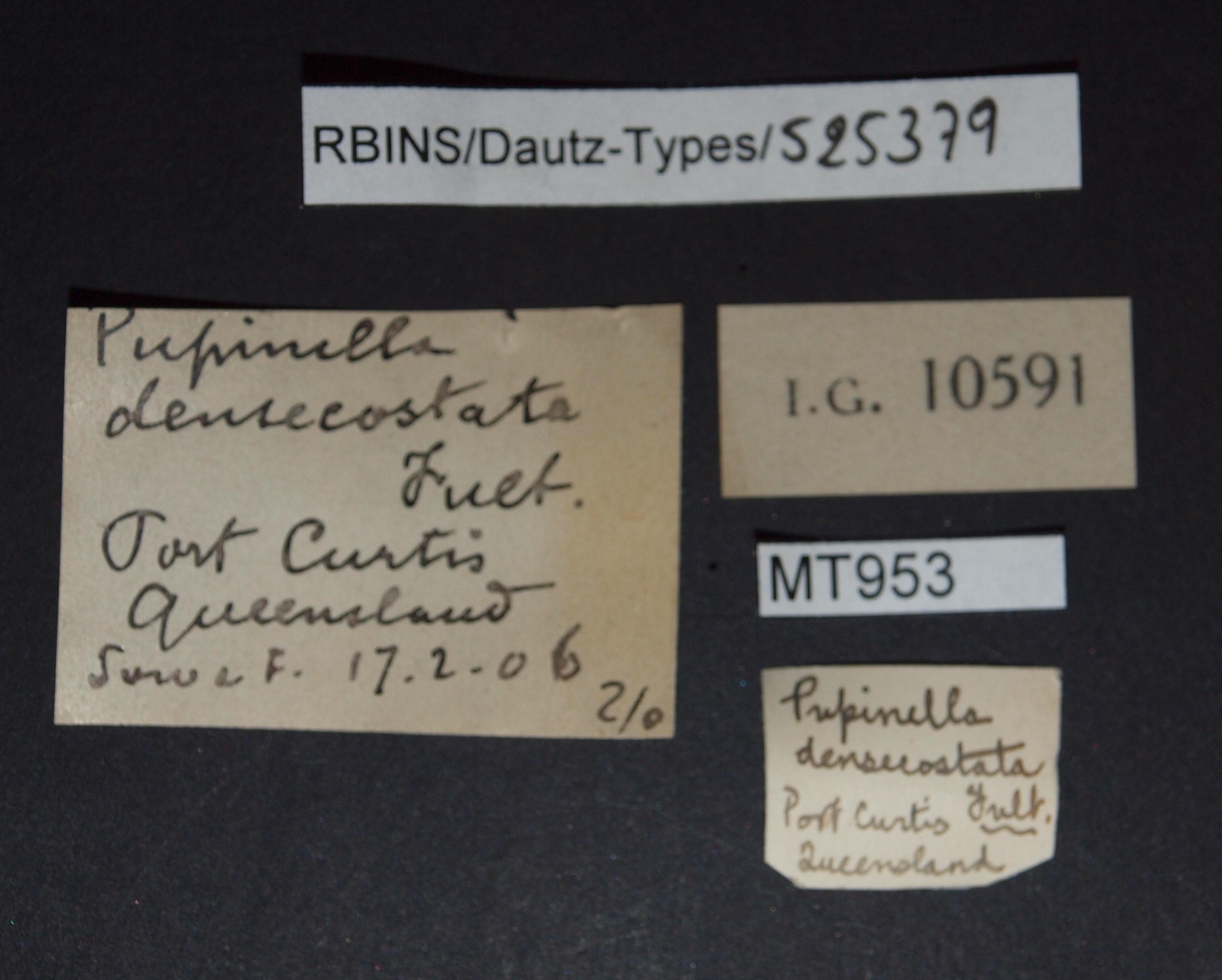 BE-RBINS-INV MT 953 Pupinella densecostata pt Lb.jpg