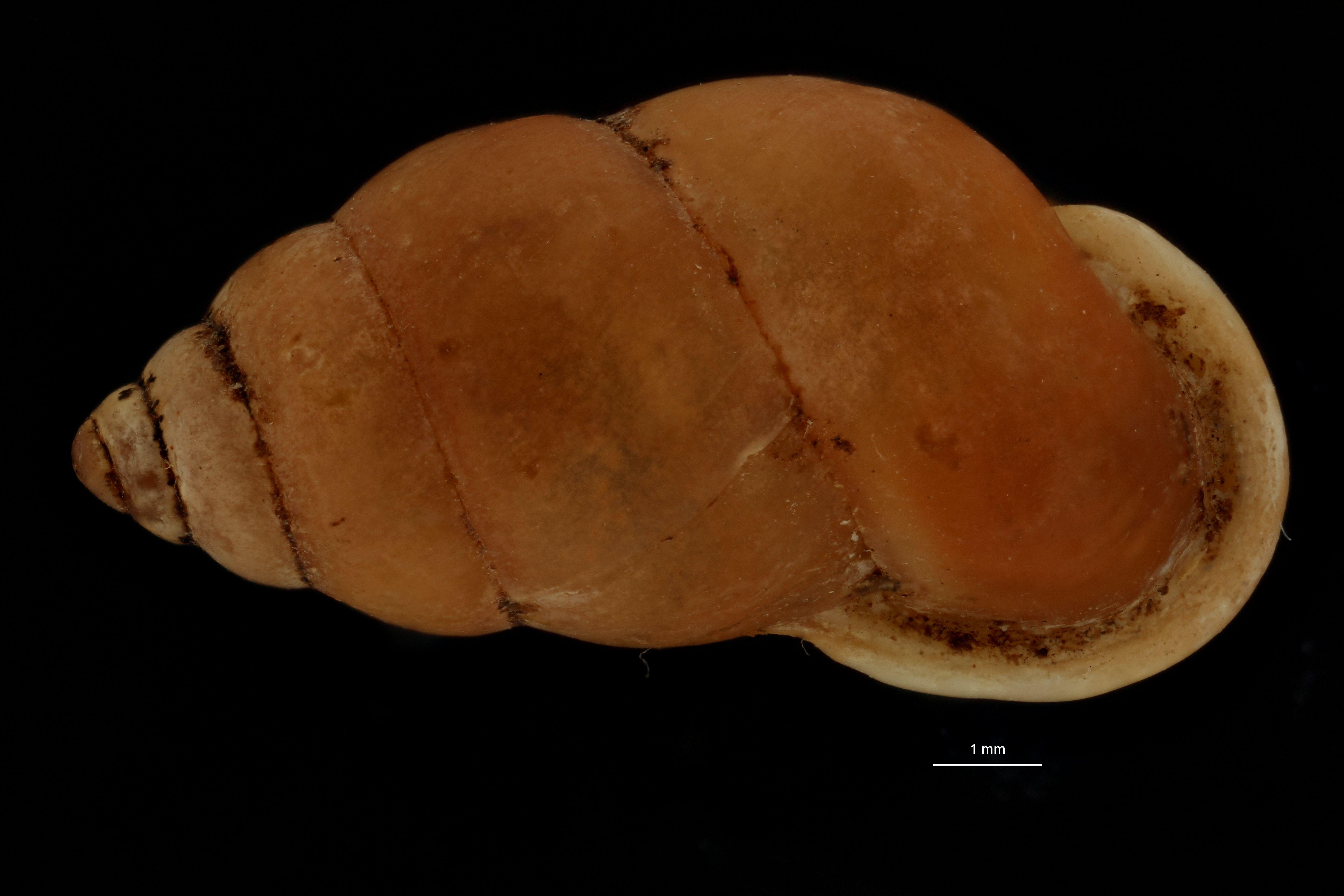BE-RBINS-INV MT 954 Pupinella (Pupinopsis) fruhstorferi pt D.jpg
