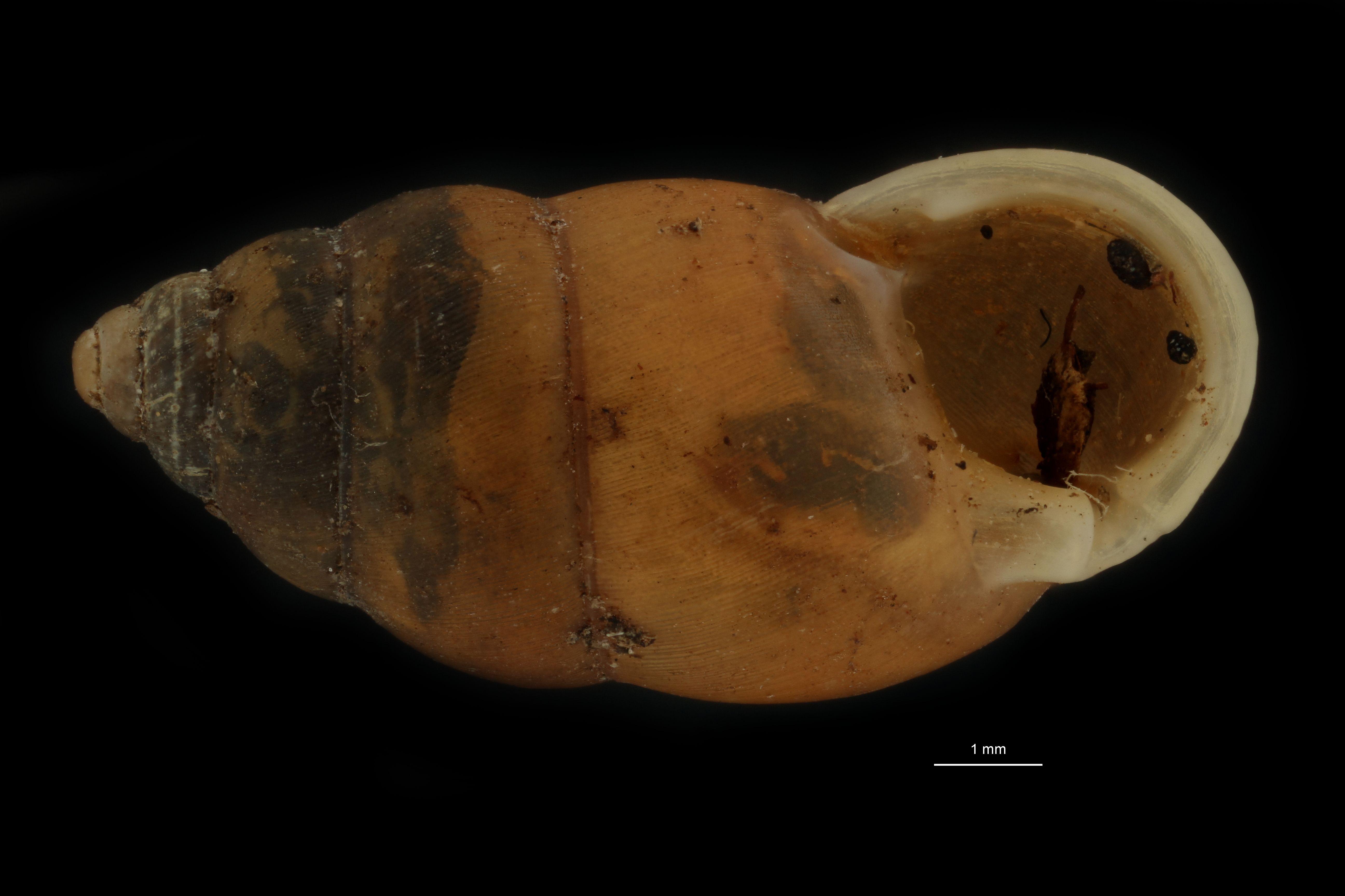 BE-RBINS-INV MT 954 Pupinella (Pupinopsis) fruhstorferi var. tsushimana pt F.jpg