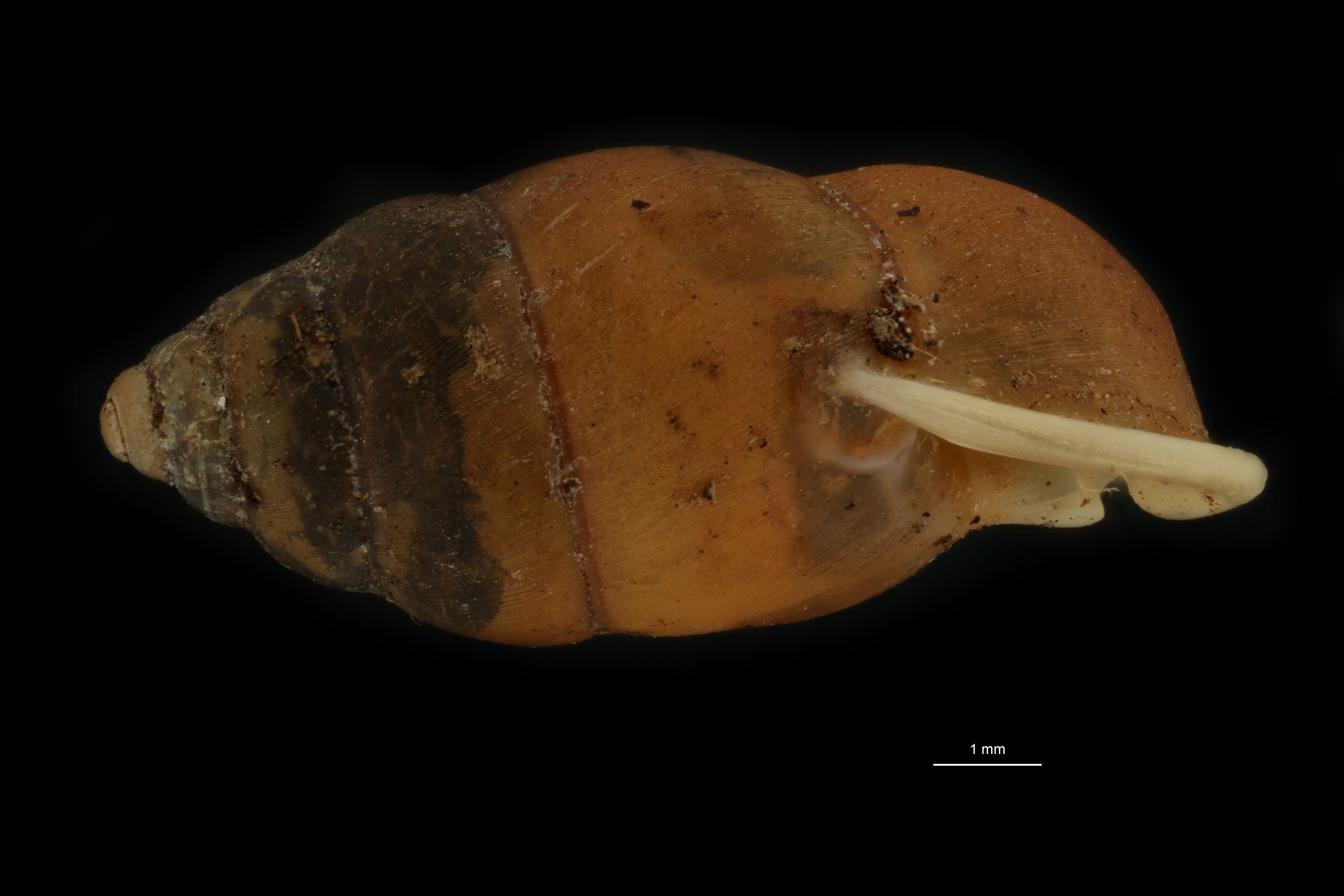 BE-RBINS-INV MT 954 Pupinella (Pupinopsis) fruhstorferi var. tsushimana pt L.jpg