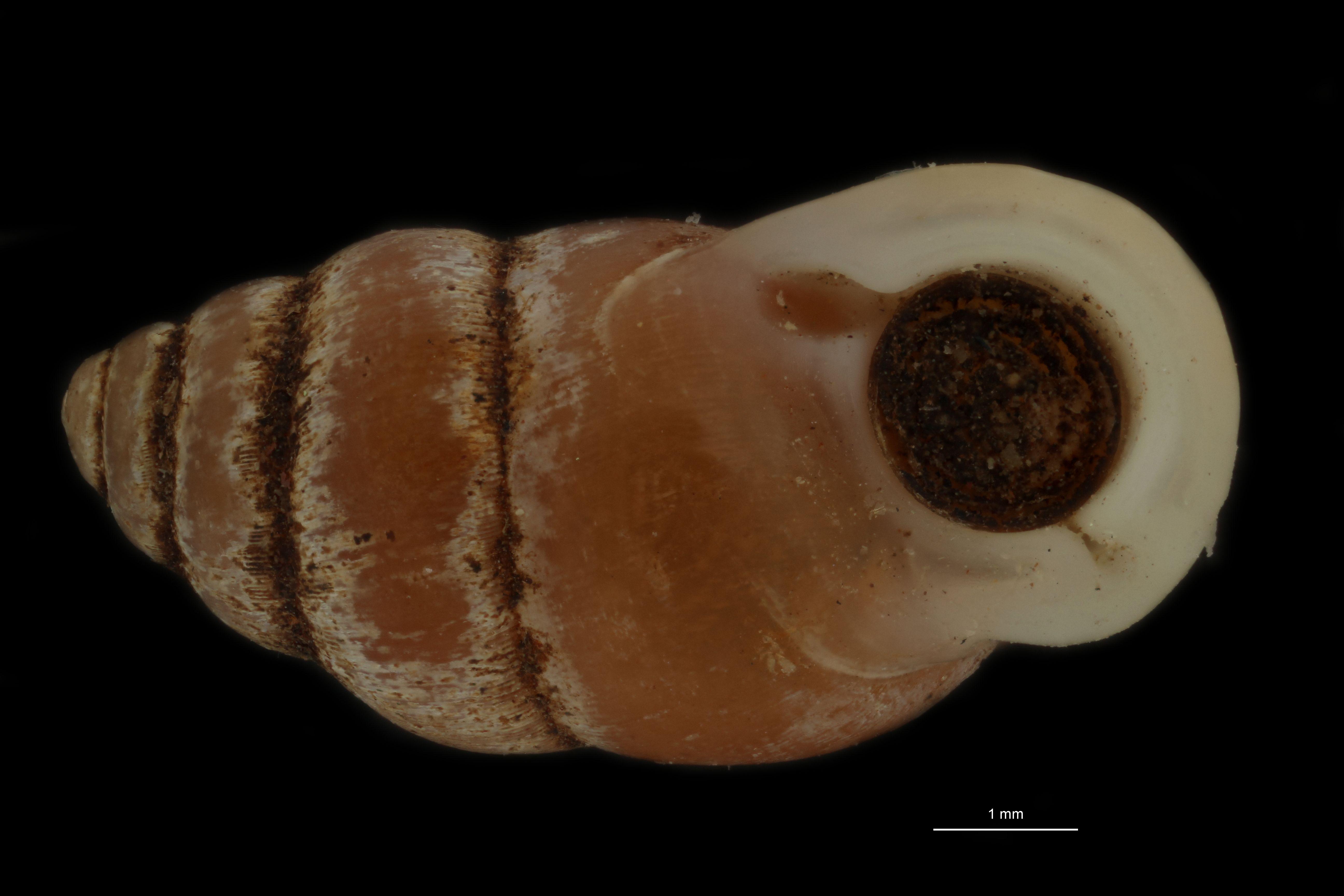 BE-RBINS-INV PARATYPE MT 956 Pupinella (Pupinopsis) funatoi FRONTAL.jpg