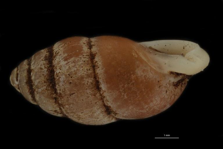 BE-RBINS-INV PARATYPE MT 956 Pupinella (Pupinopsis) funatoi LATERALL.jpg