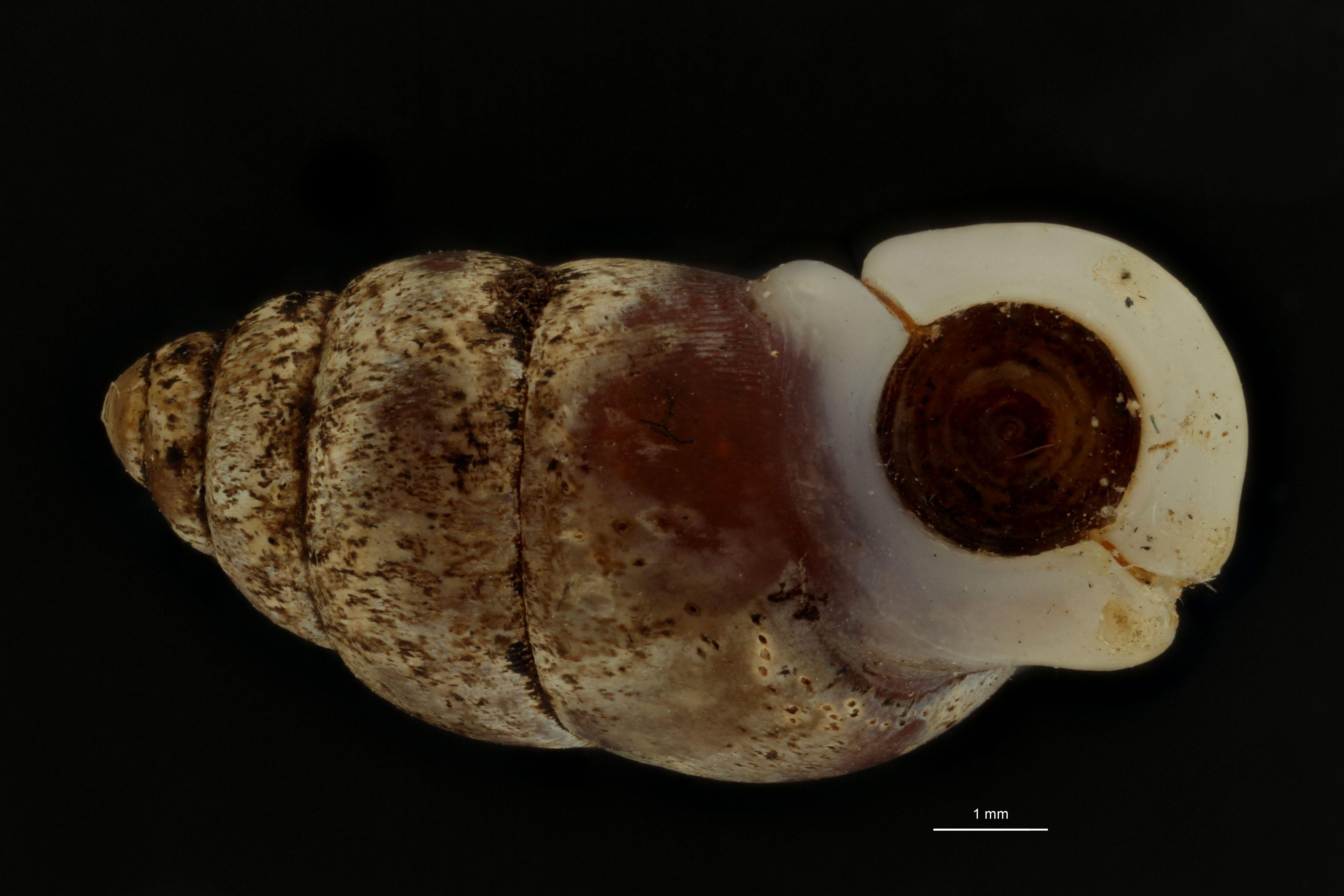 BE-RBINS-INV MT 957 Pupinella (Pupinopsis) oshimae oshimae pt F.jpg