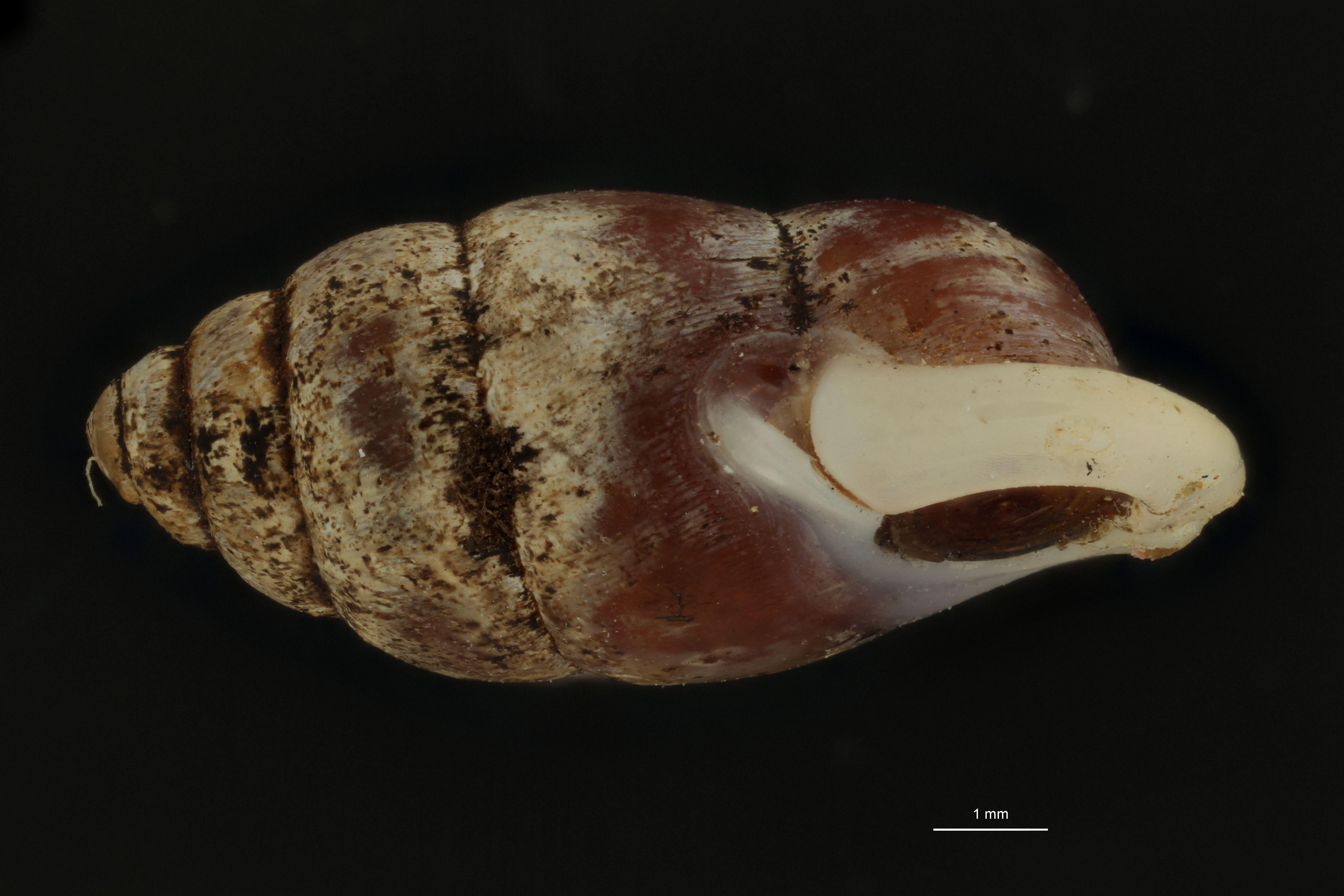 BE-RBINS-INV MT 957 Pupinella (Pupinopsis) oshimae oshimae pt L.jpg