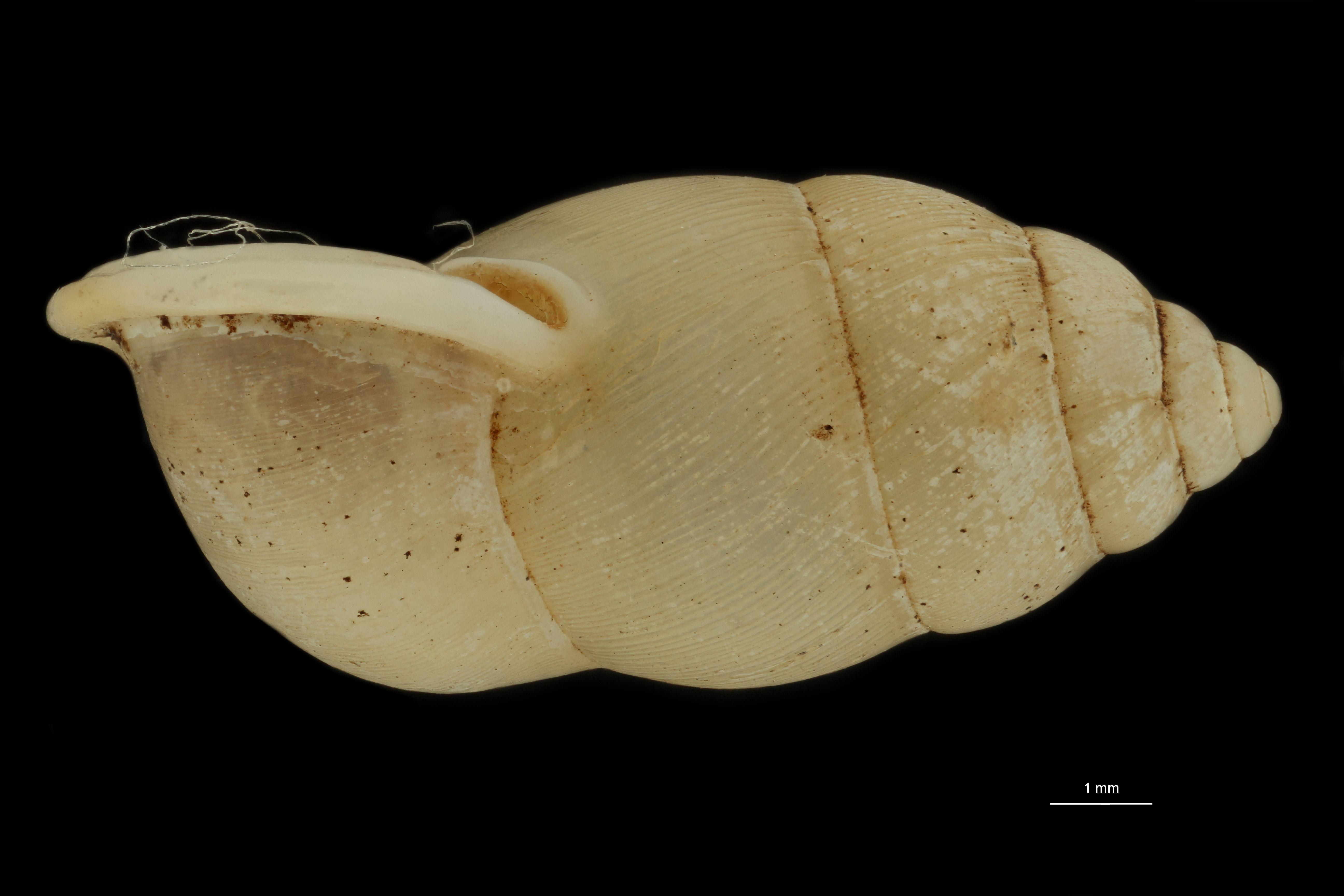 BE-RBINS-INV MT 959 Pupinella (Pupinopsis) rufa var. alba pt L.jpg
