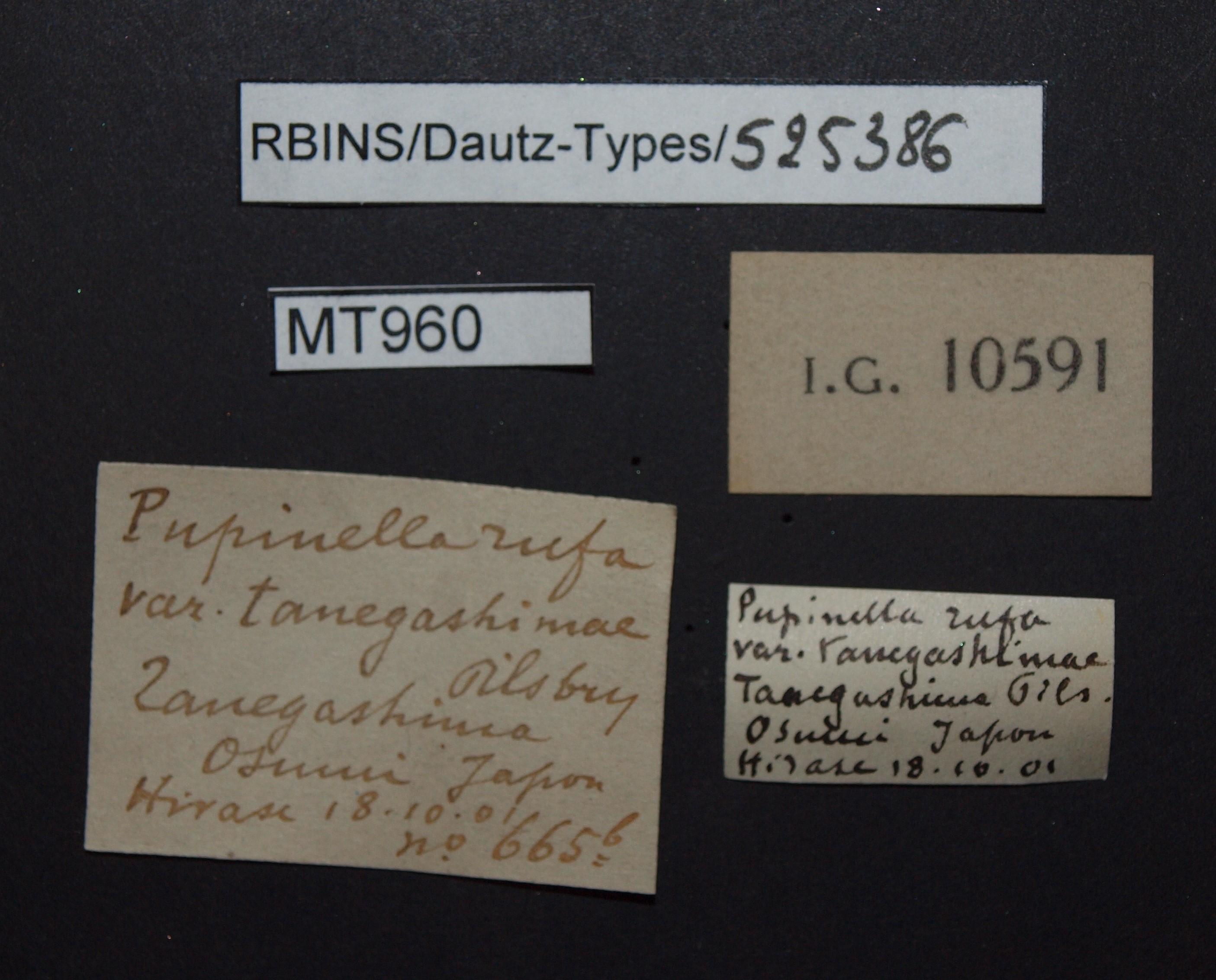 BE-RBINS-INV MT 960 Pupinella (Pupinopsis) rufa var. tanegashimae pt Lb.jpg