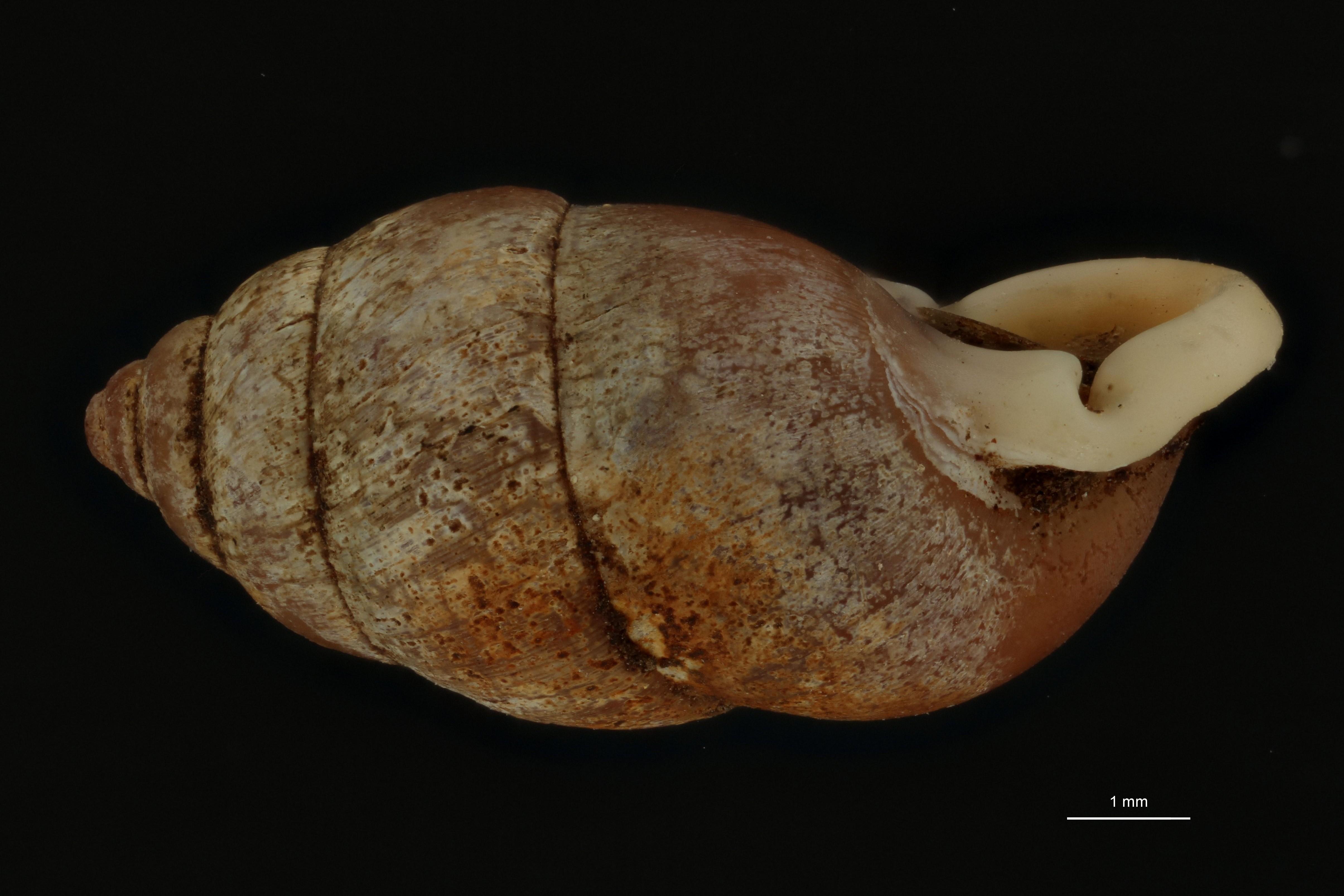 BE-RBINS-INV MT 960 Pupinella (Pupinopsis) rufa var. tanegashimae pt L.jpg