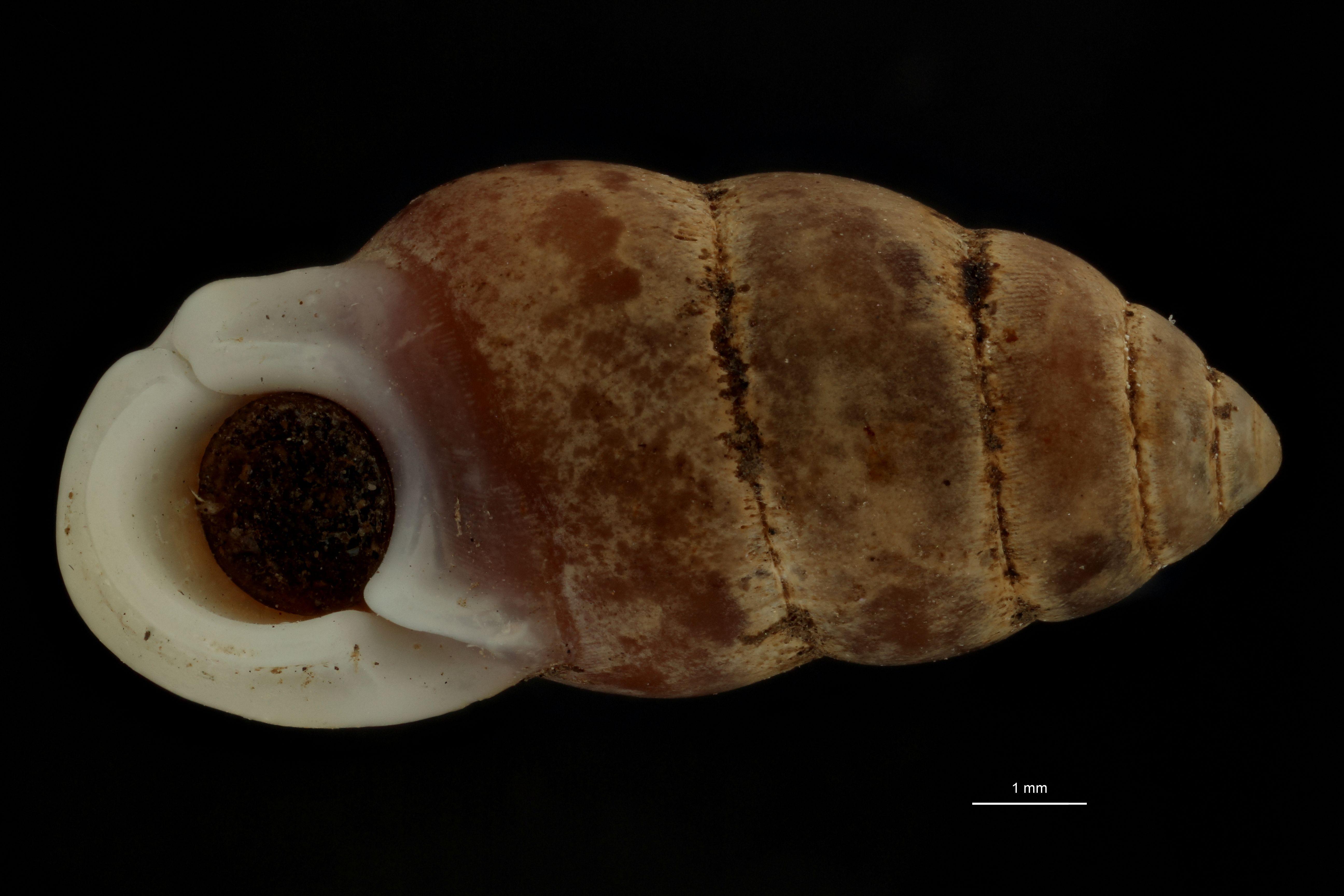BE-RBINS-INV MT 962 Pupinella (Pupinopsis) swinhoei var. meridionalis pt F.jpg