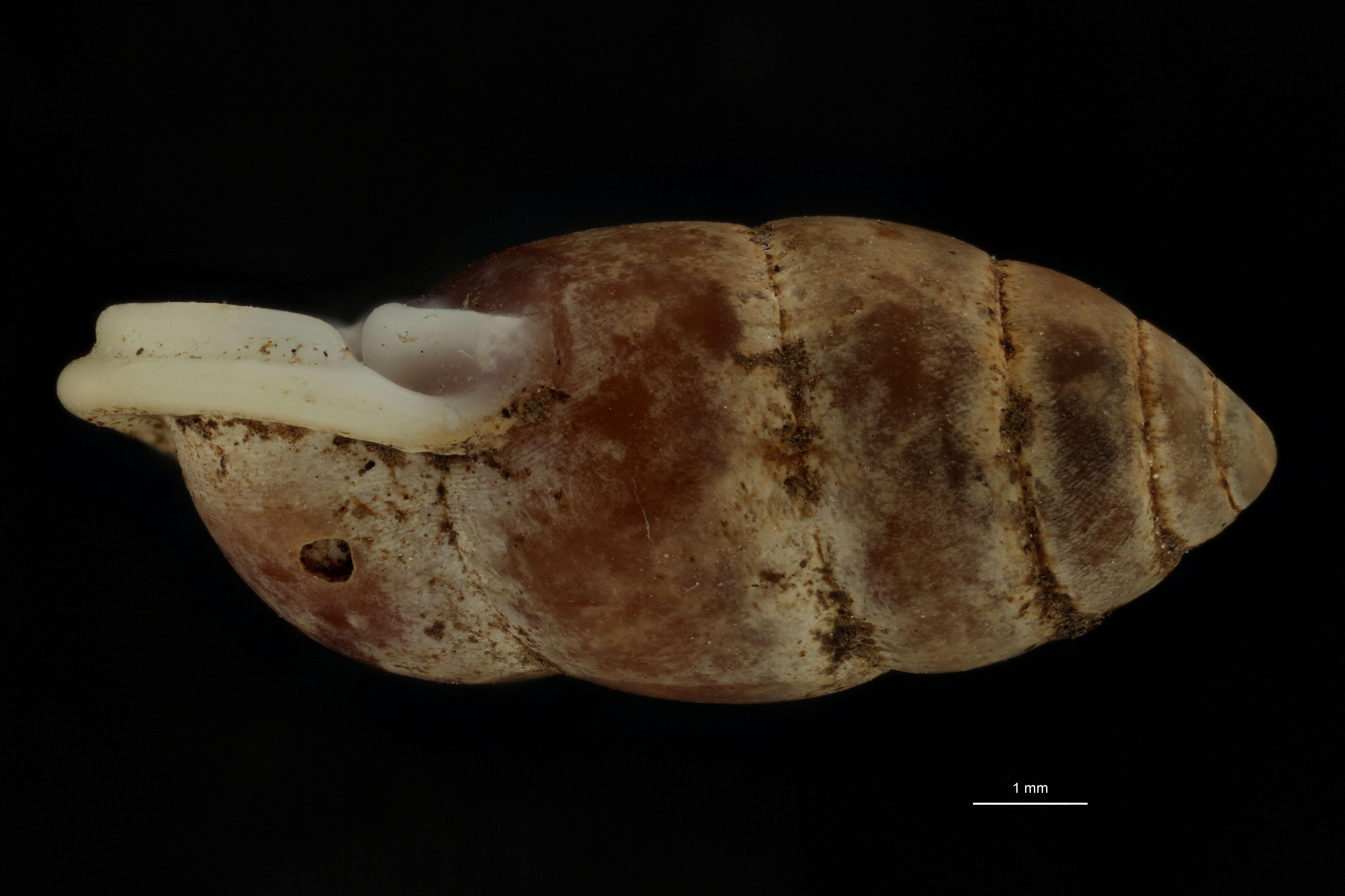 BE-RBINS-INV MT 962 Pupinella (Pupinopsis) swinhoei var. meridionalis pt L.jpg