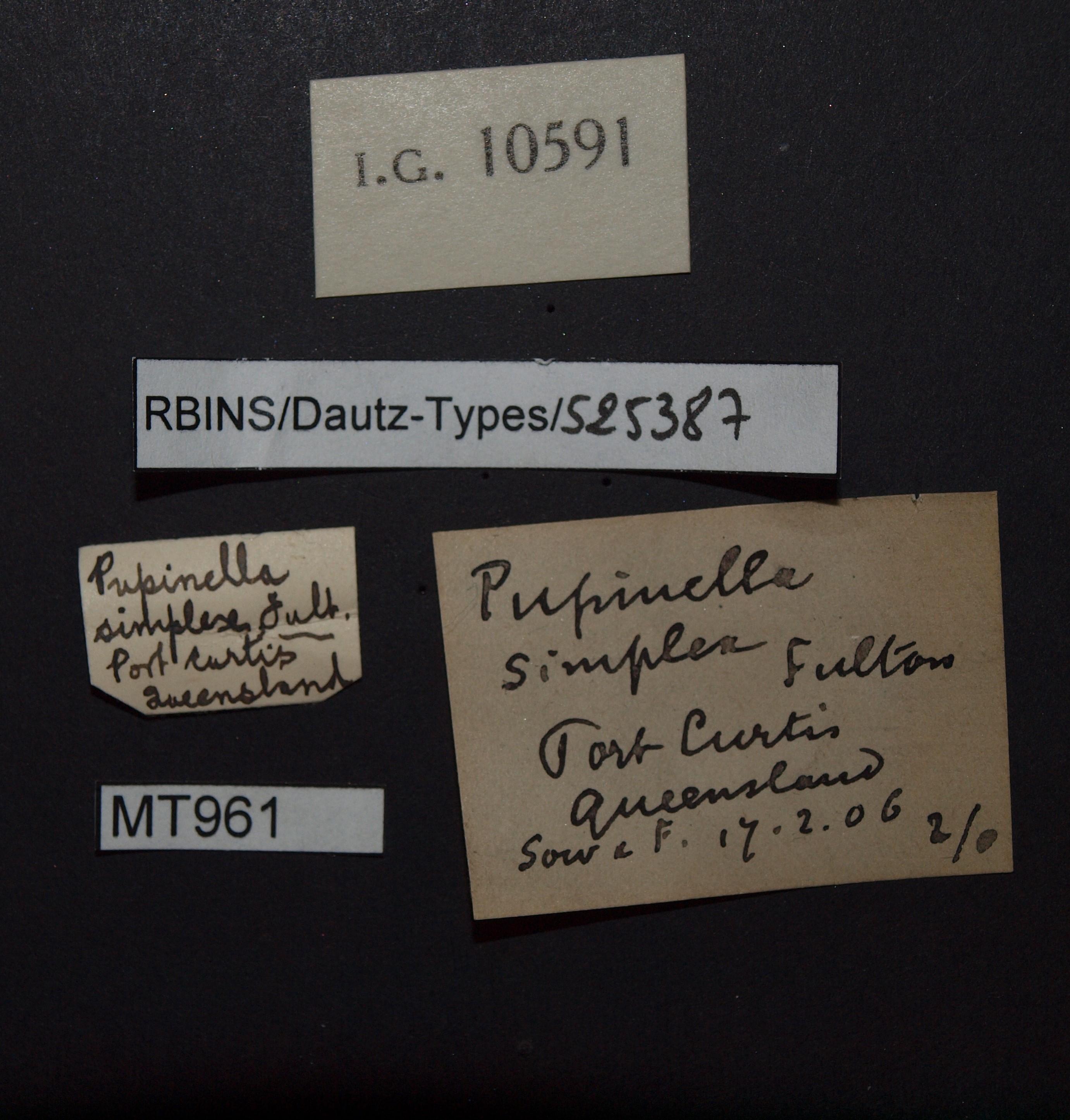 Pupinella simplex pt.JPG