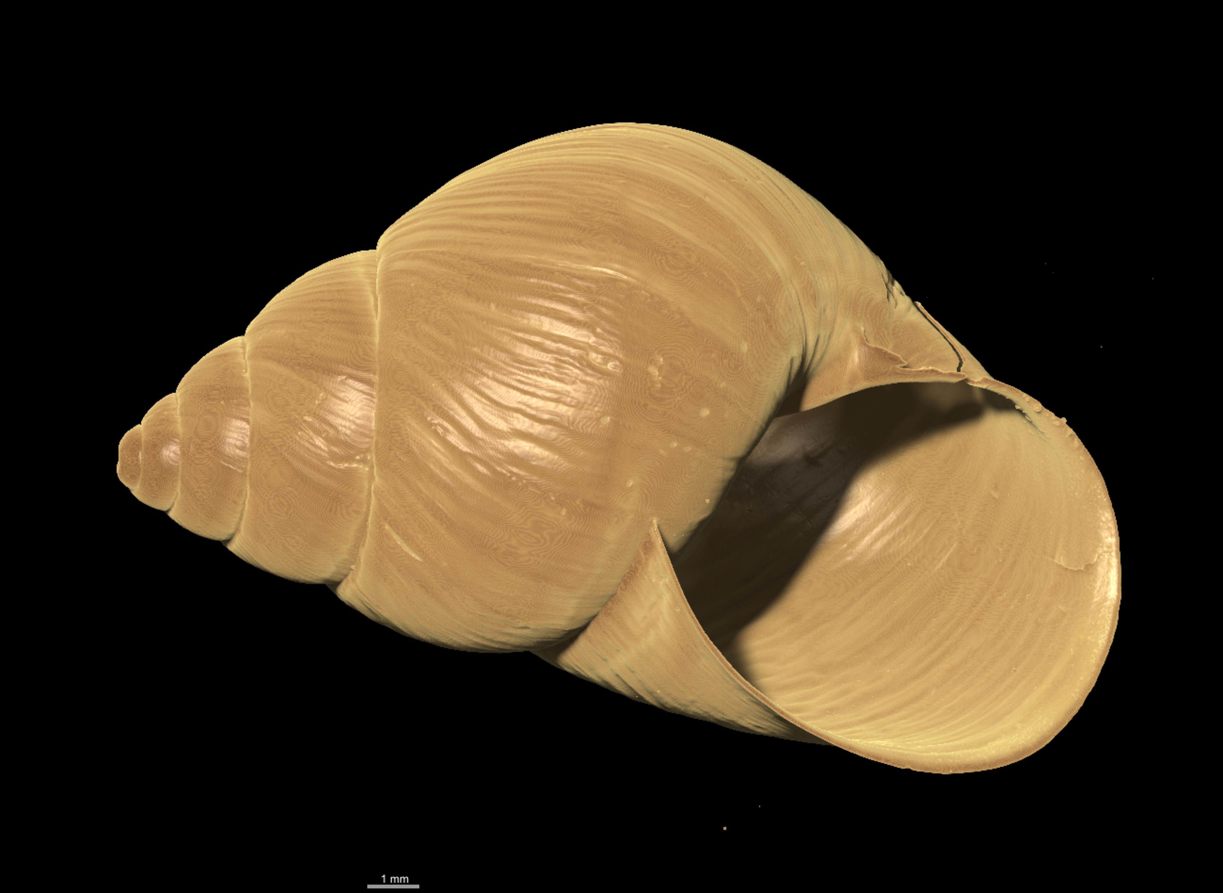 BE-RBINS-INV-TYPES-MT-2350-Simpulopsis-ephippium-ORAL-MICROCT-XRE.jpg