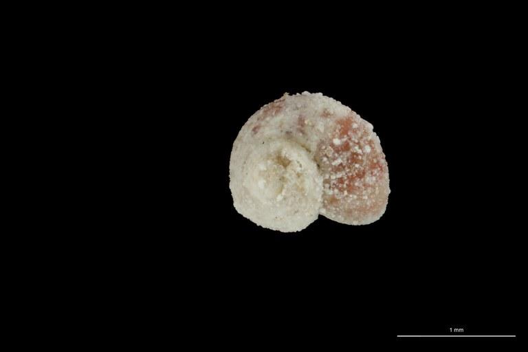 BE-RBINS-INV HYPOTYPE MT 75 Rhodinoliotia roseotincta DORSAL ZS DMap Scaled.jpg
