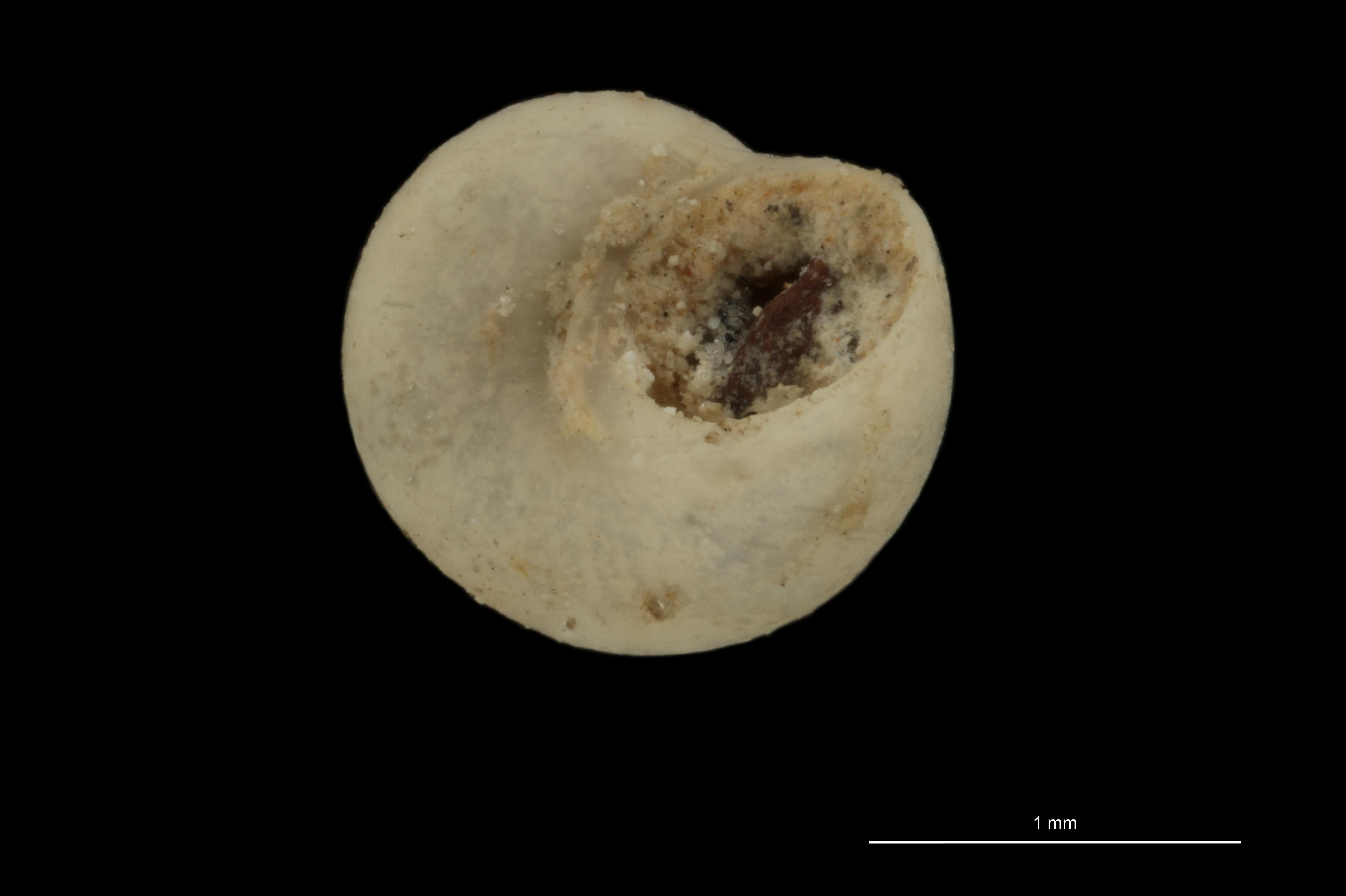 BE-RBINS-INV MT 795 Tharsis gaudryi pt U.jpg