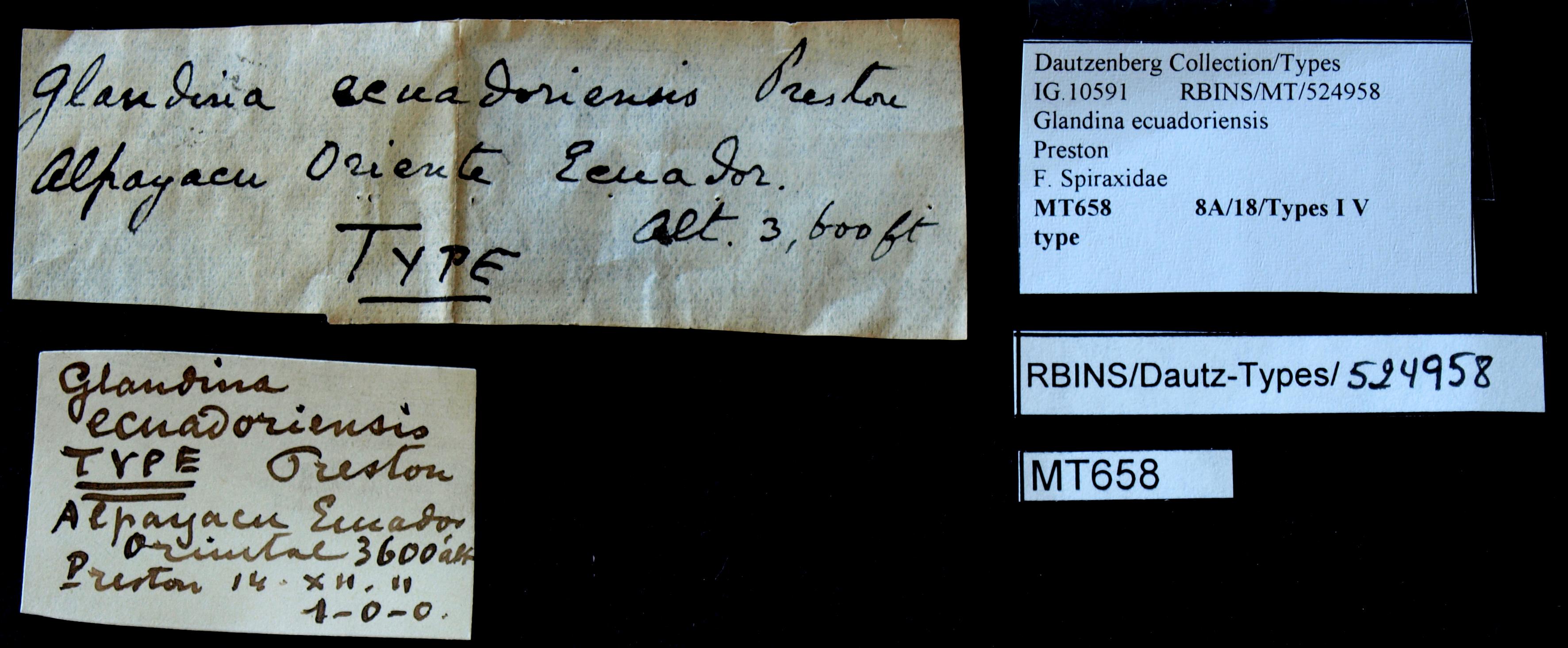 BE-RBINS-INV MT 658 Glandina ecuadoriensis Type Lb.jpg