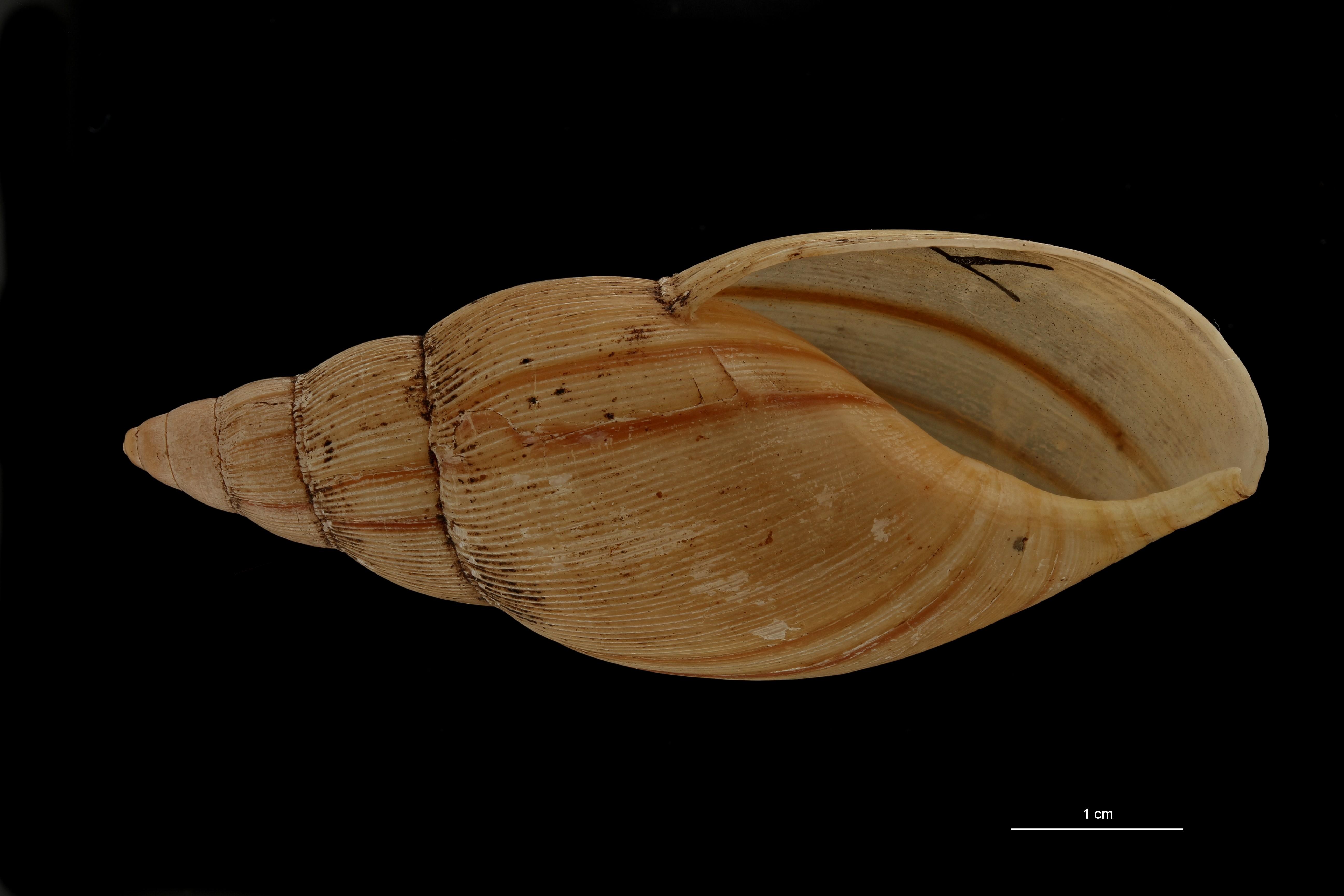 BE-RBINS-INV MT 658 Glandina ecuadoriensis Type V ZS PMax Scaled.jpg