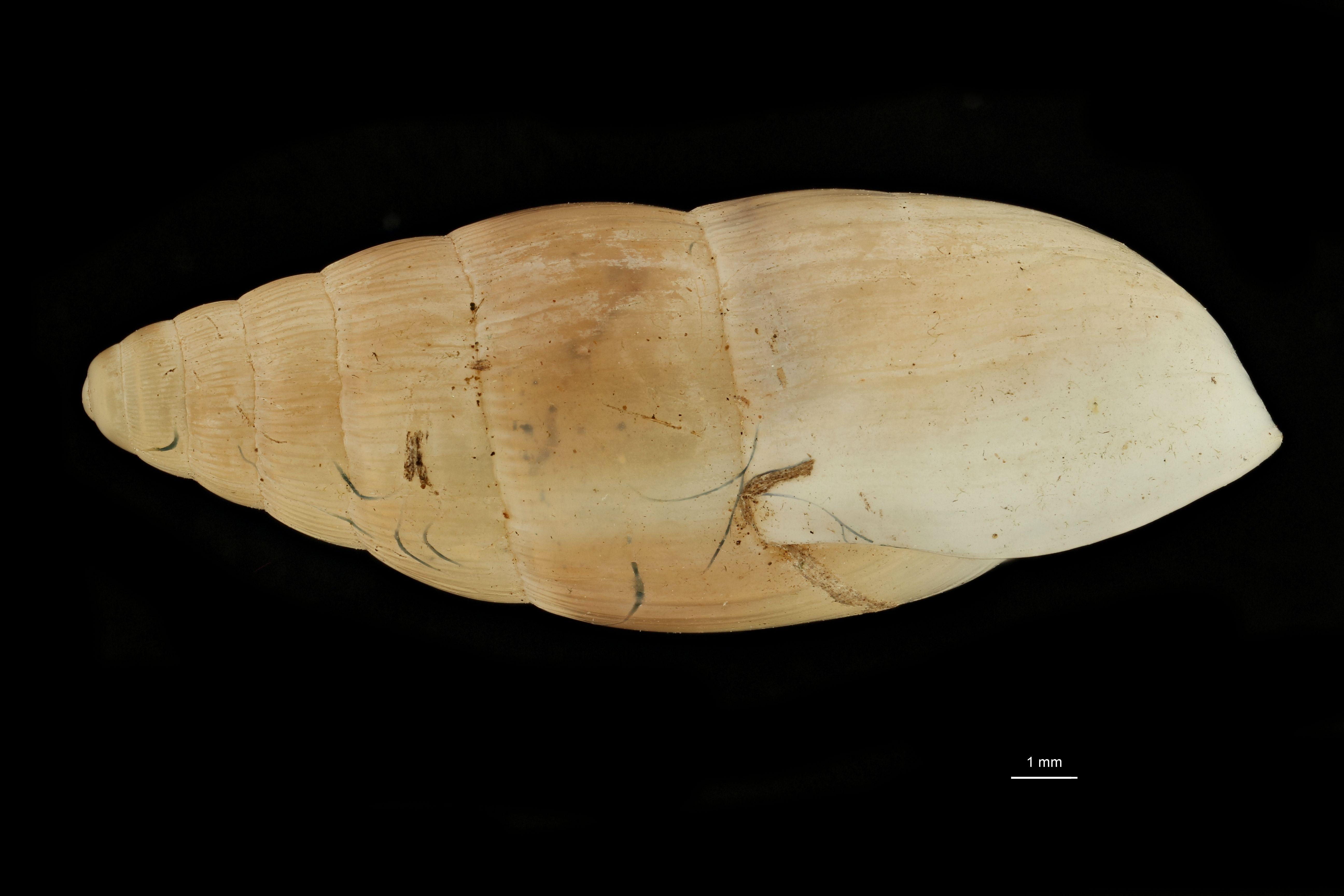 BE-RBINS-INV MT.3680 Guillarmodia (Proameria) bellula st L.jpg