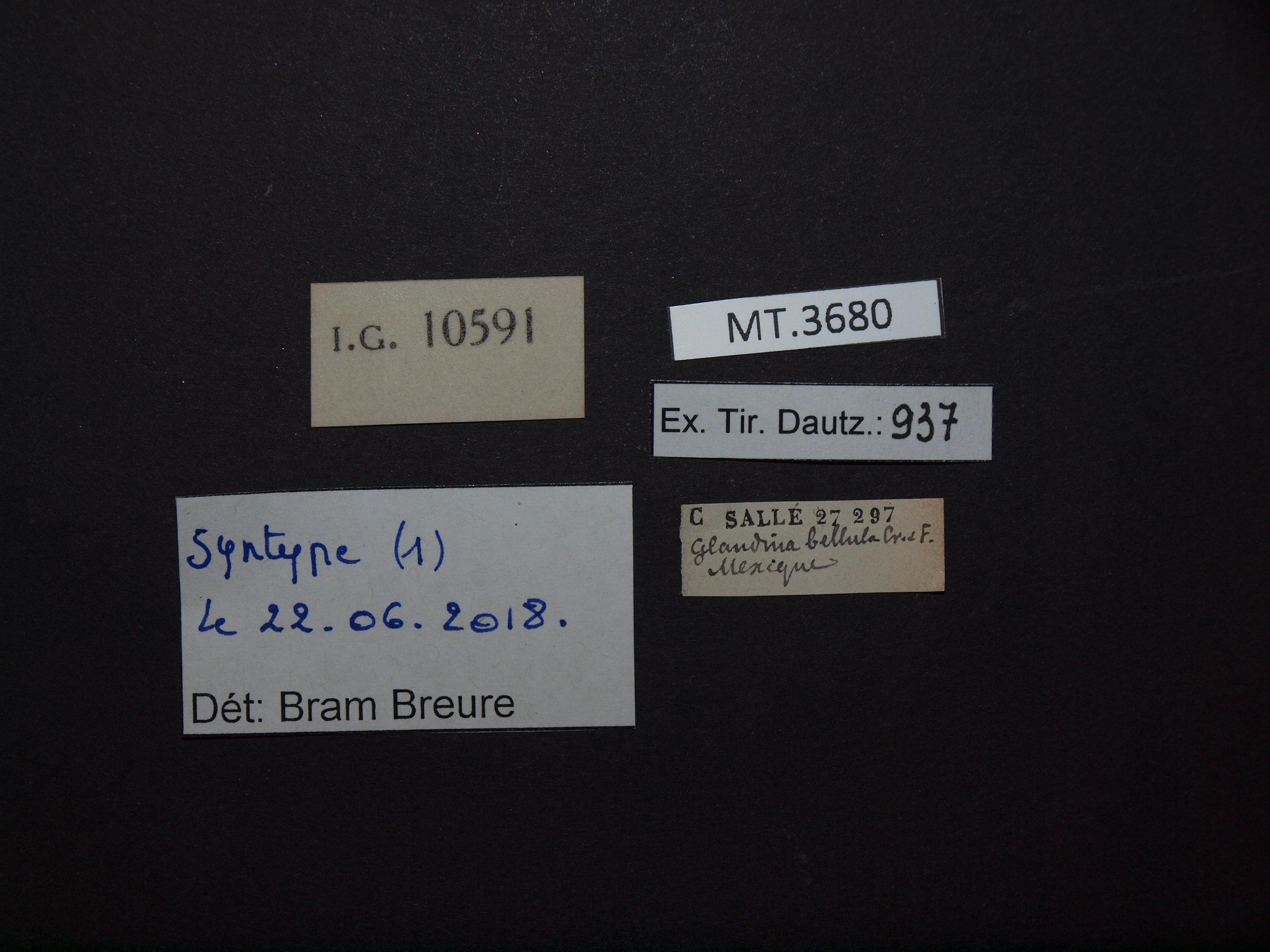BE-RBINS-INV MT.3680 Guillarmodia (Proameria) bellula st Lb.jpg