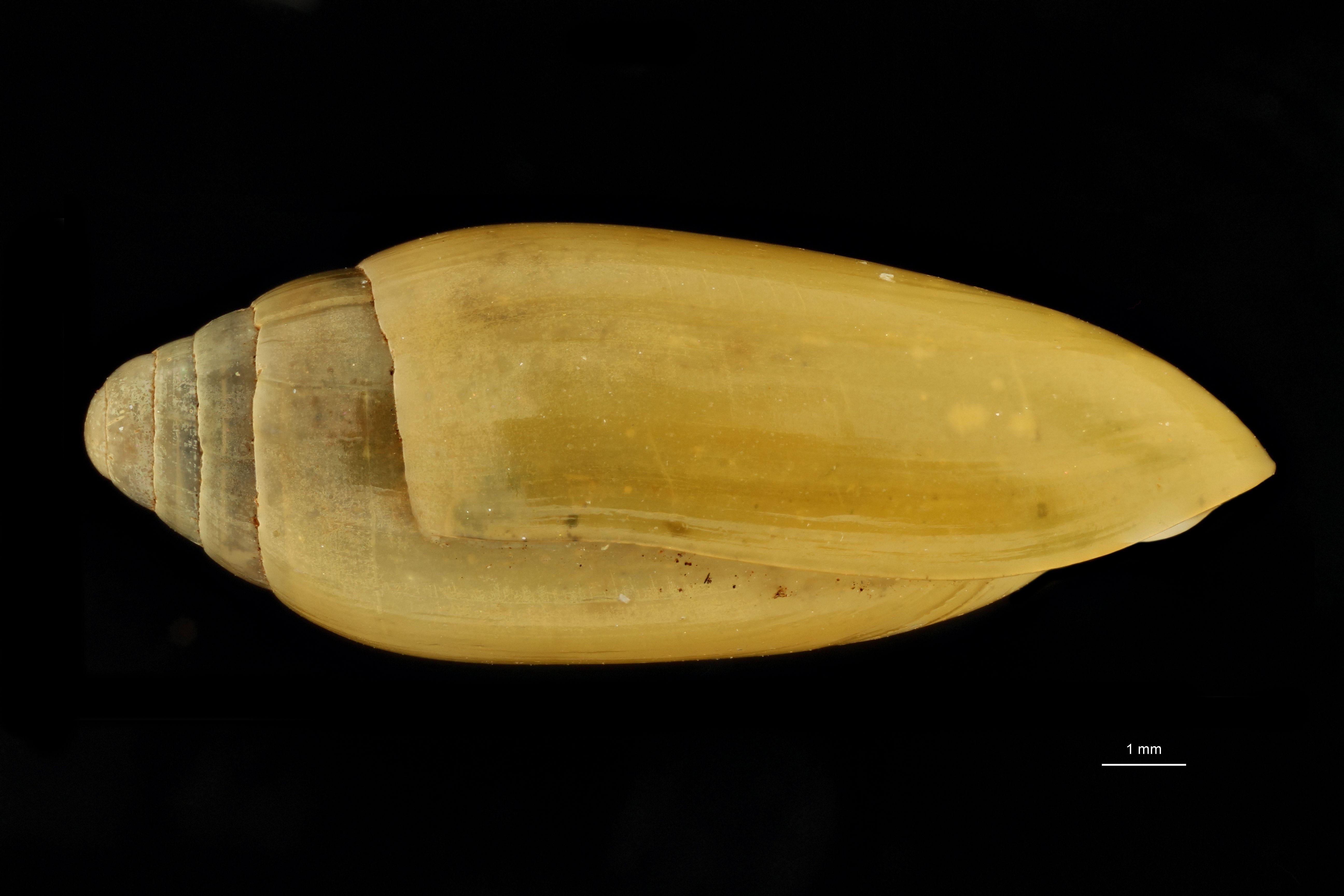 BE-RBINS-INV MT.3668 Streptostyla (Streptostyla) boyeriana st L.jpg