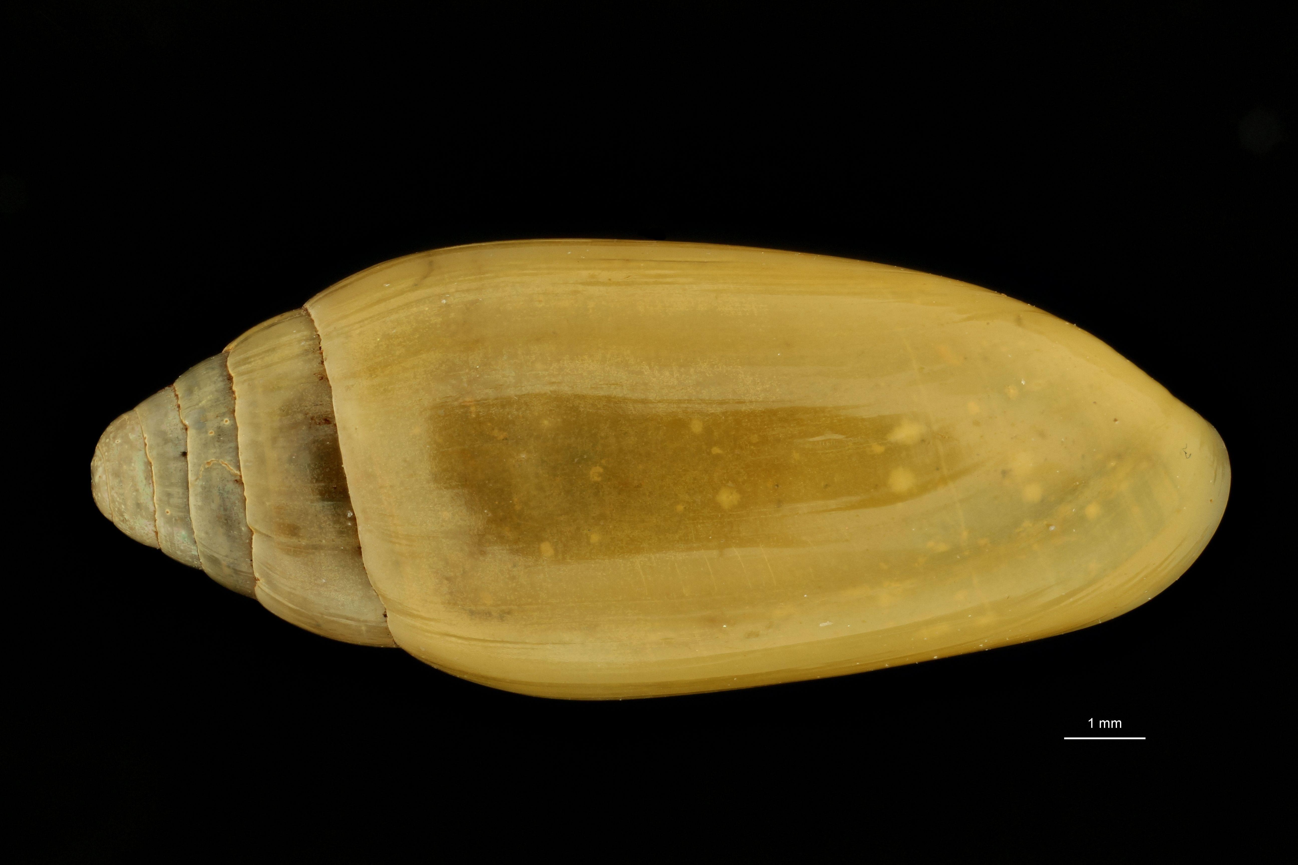 Streptostyla boyeriana st D.jpg