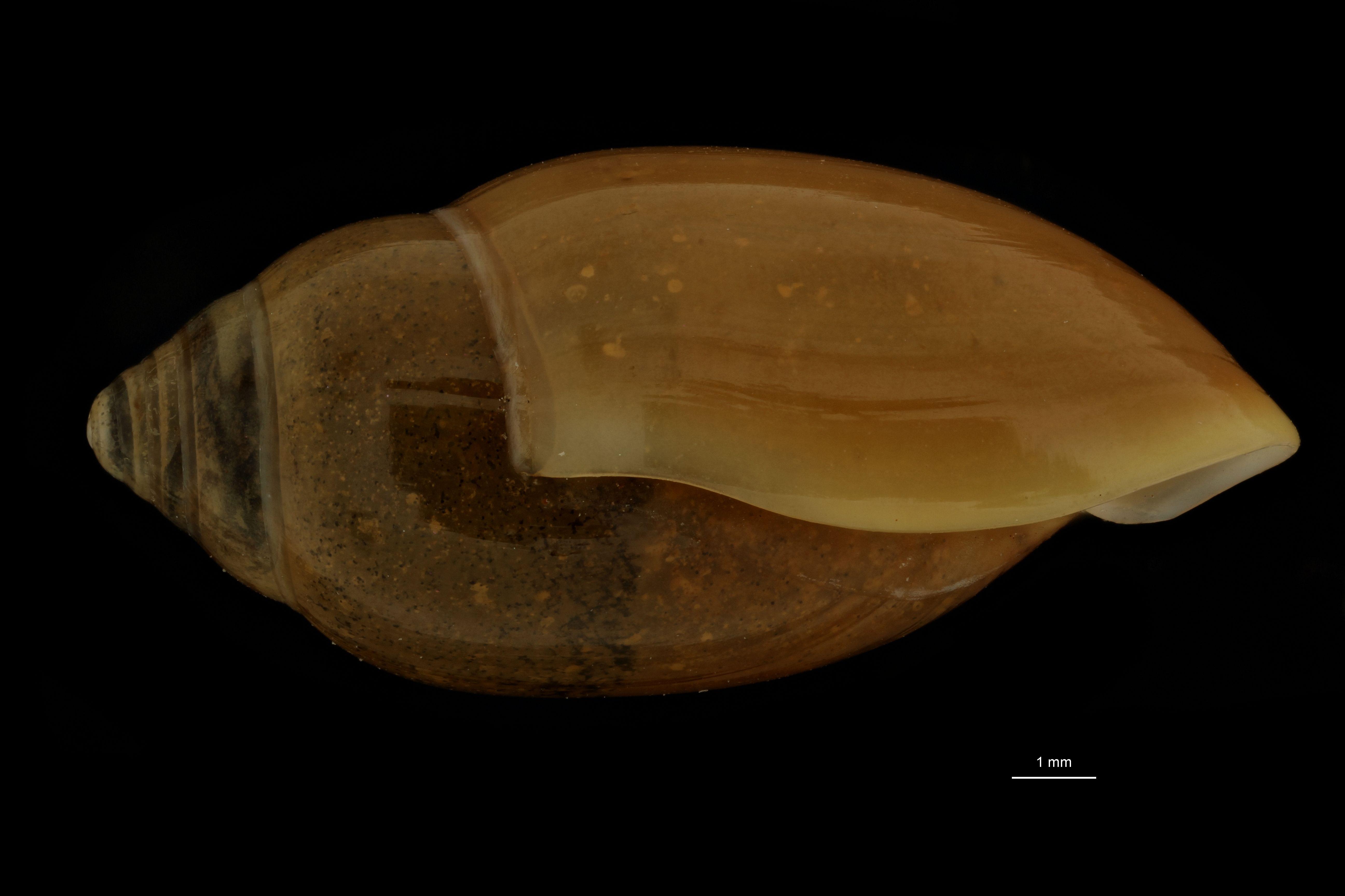 BE-RBINS-INV MT.3688 Streptostyla (Streptostyla) fulvida st L.jpg