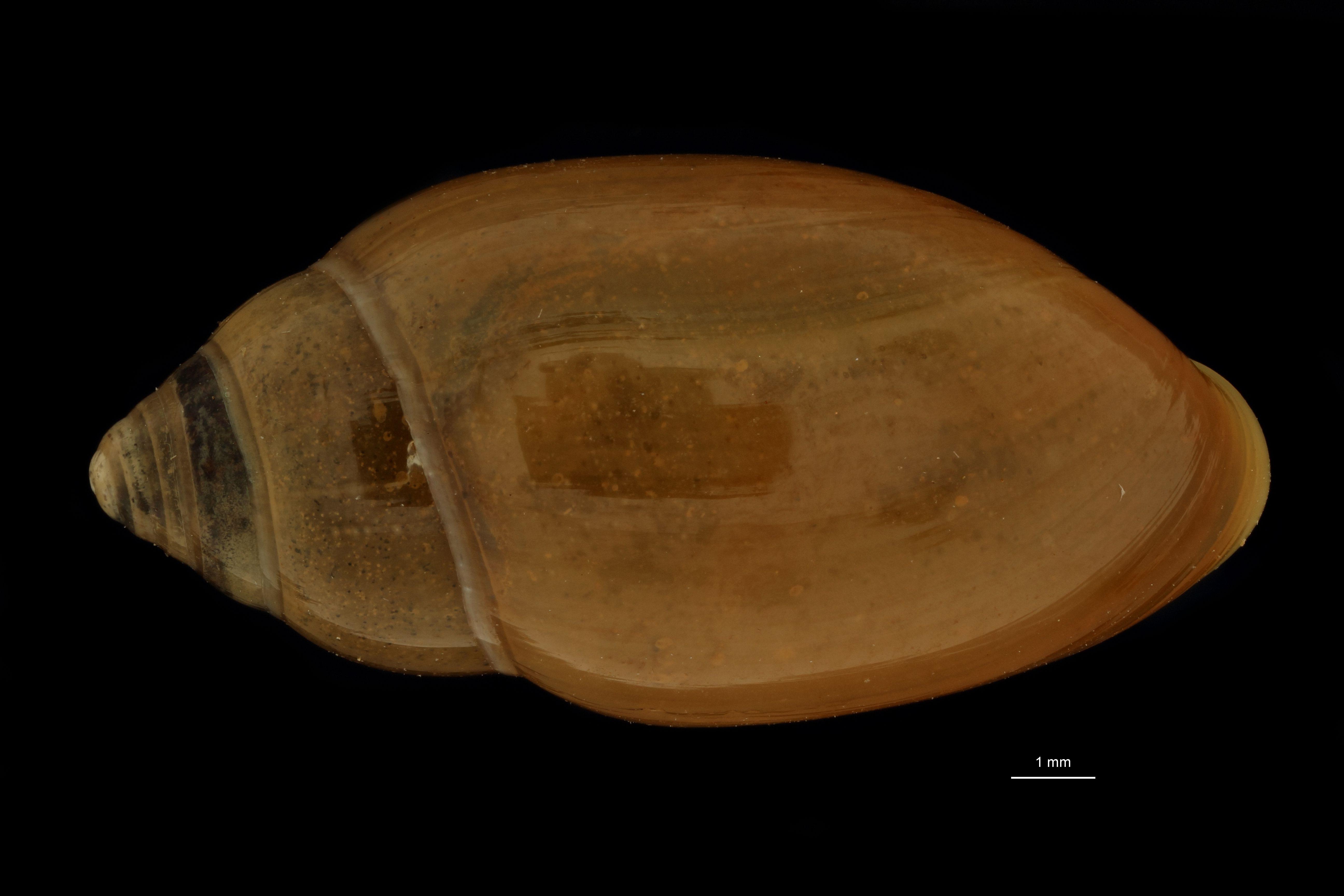 BE-RBINS-INV MT.3688 Streptostyla (Streptostyla) fulvida st D.jpg