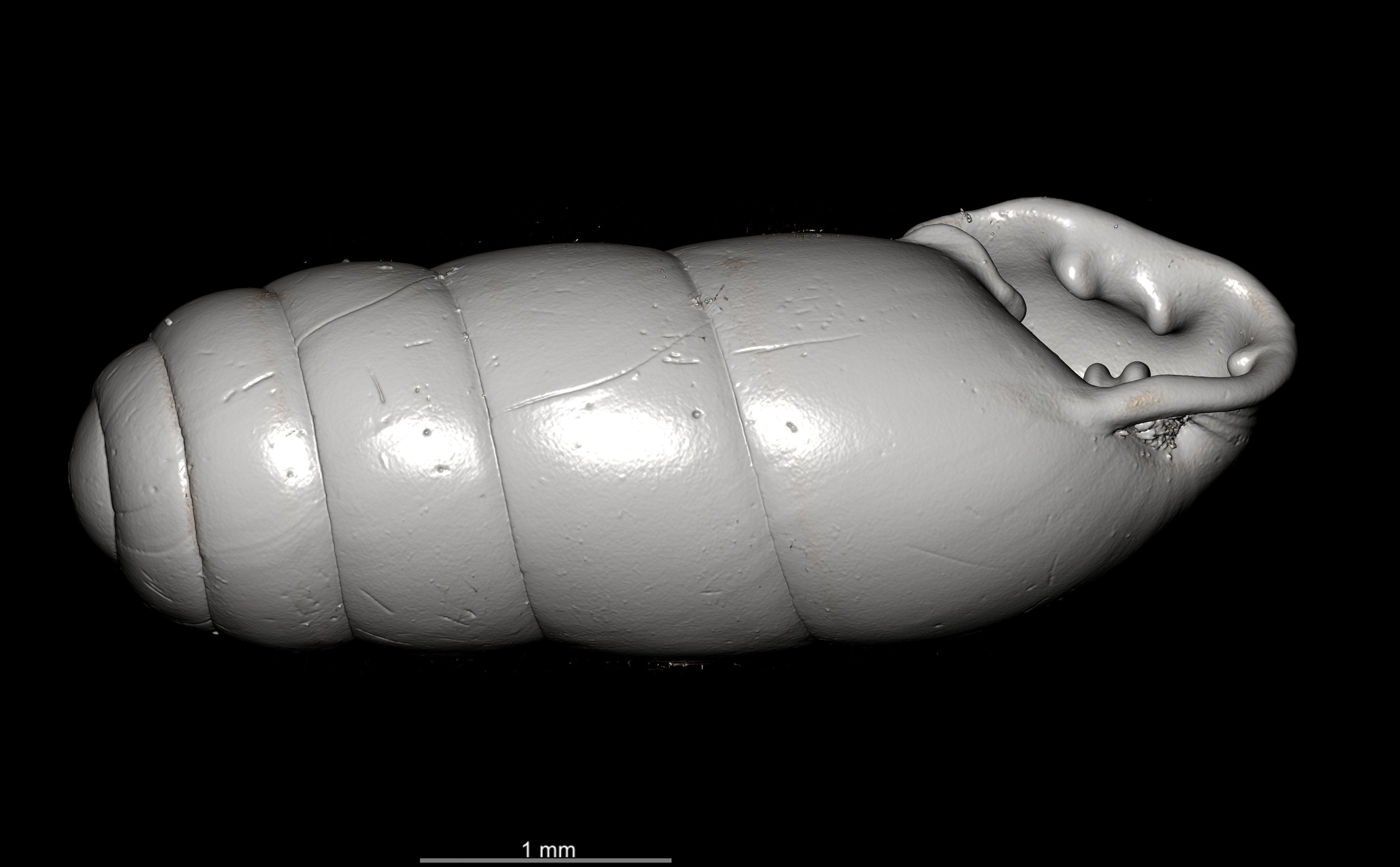 BE-RBINS-INV SYNTYPE MT.2862 Ennea gwendolinae MCT XRE OBLIQUE.jpg