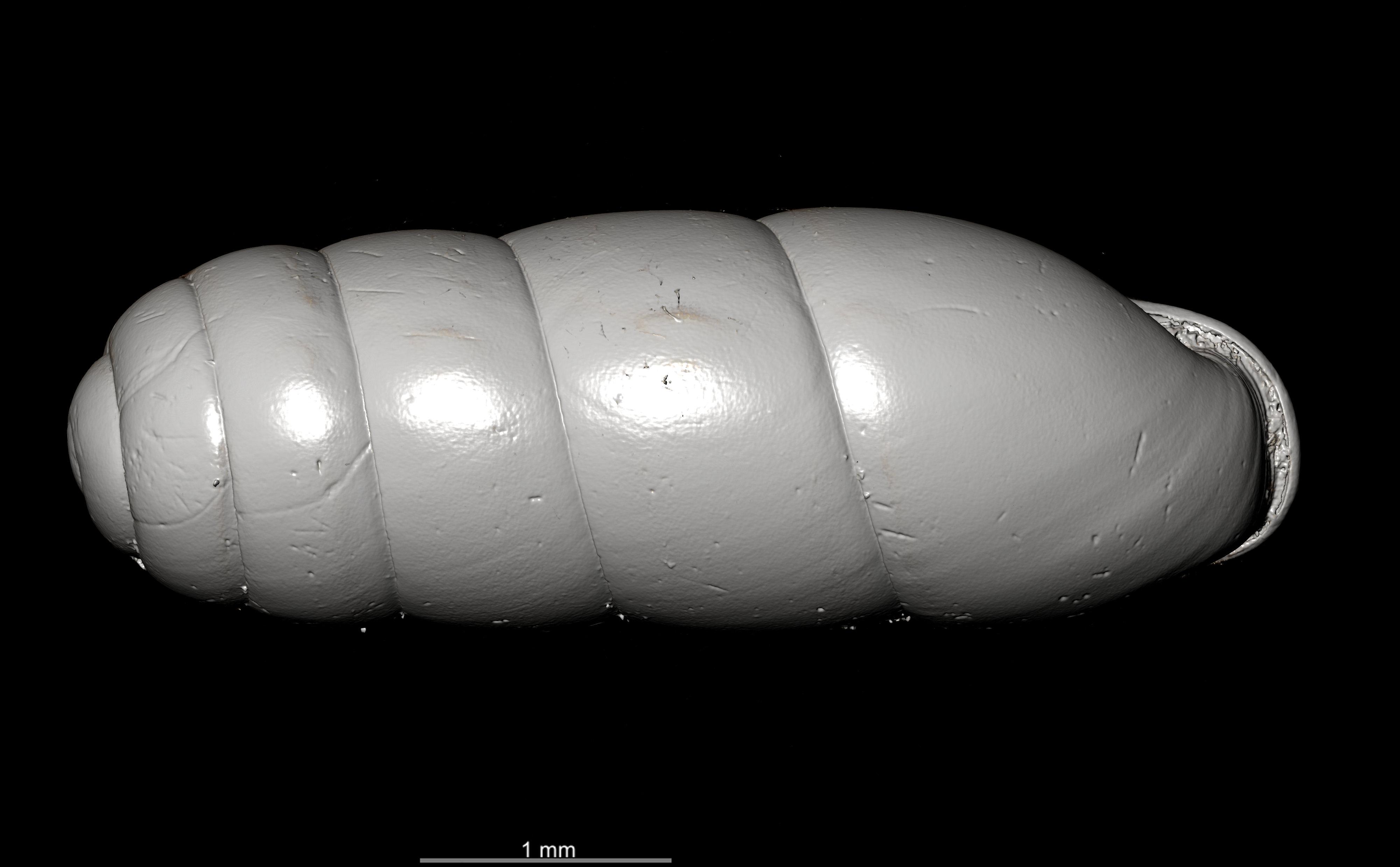 BE-RBINS-INV SYNTYPE MT.2862 Ennea gwendolinae MCT XRE DORSAL.jpg