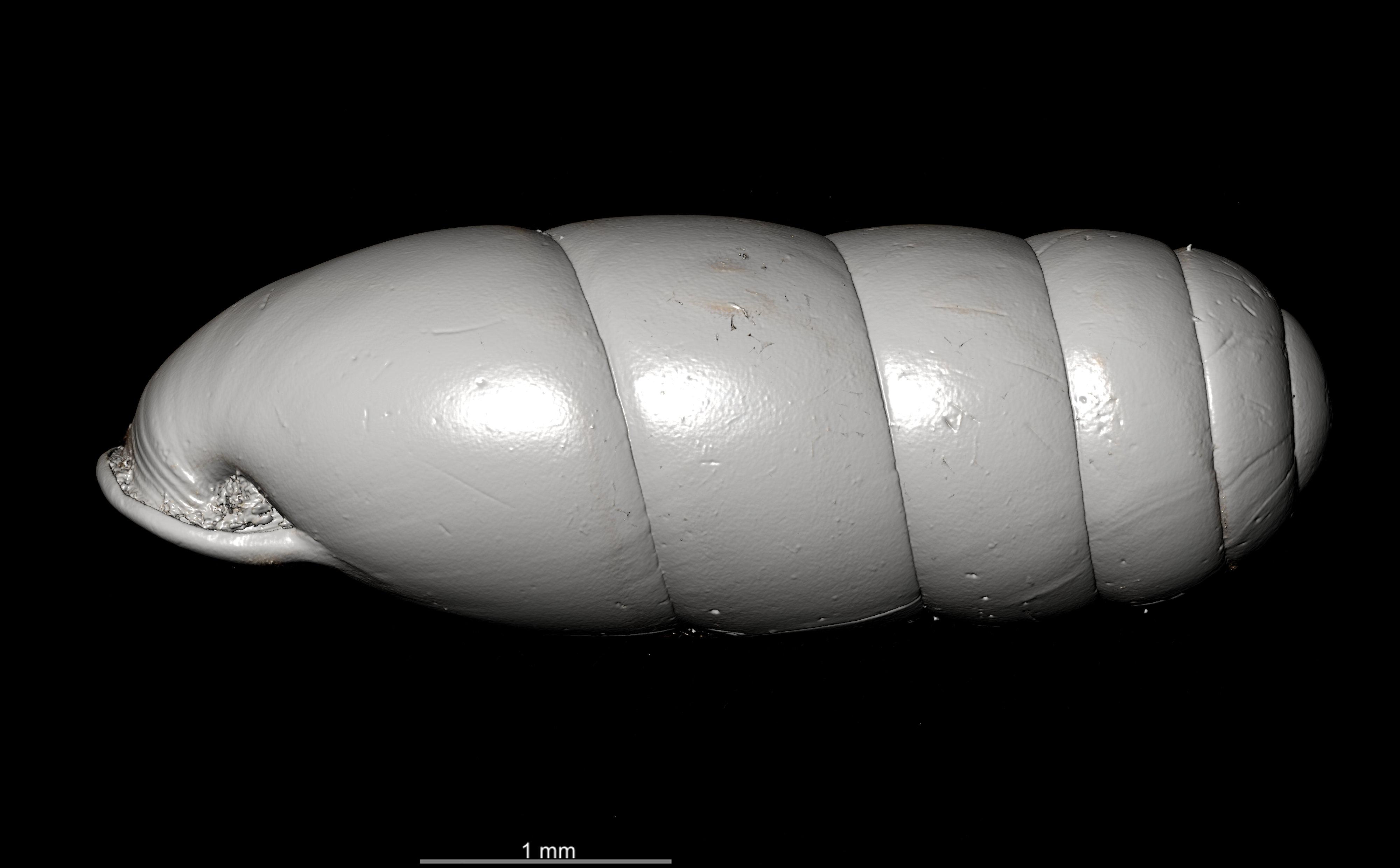 BE-RBINS-INV SYNTYPE MT.2862 Ennea gwendolinae MCT XRE LEFT.jpg