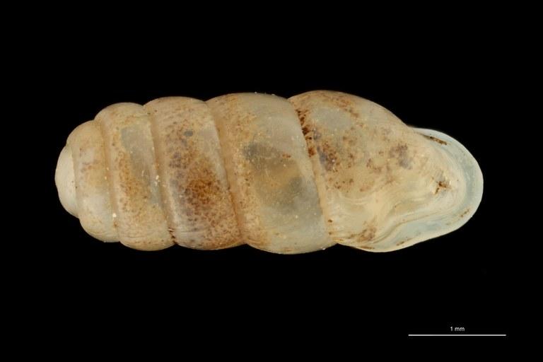 BE-RBINS-INV PARATYPE MT 359 Gulella (Wilmattina) foveolata DORSAL ZS PMax Scaled.jpg