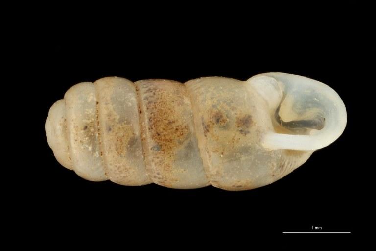BE-RBINS-INV PARATYPE MT 359 Gulella (Wilmattina) foveolata VENTRAL ZS PMax Scaled.jpg