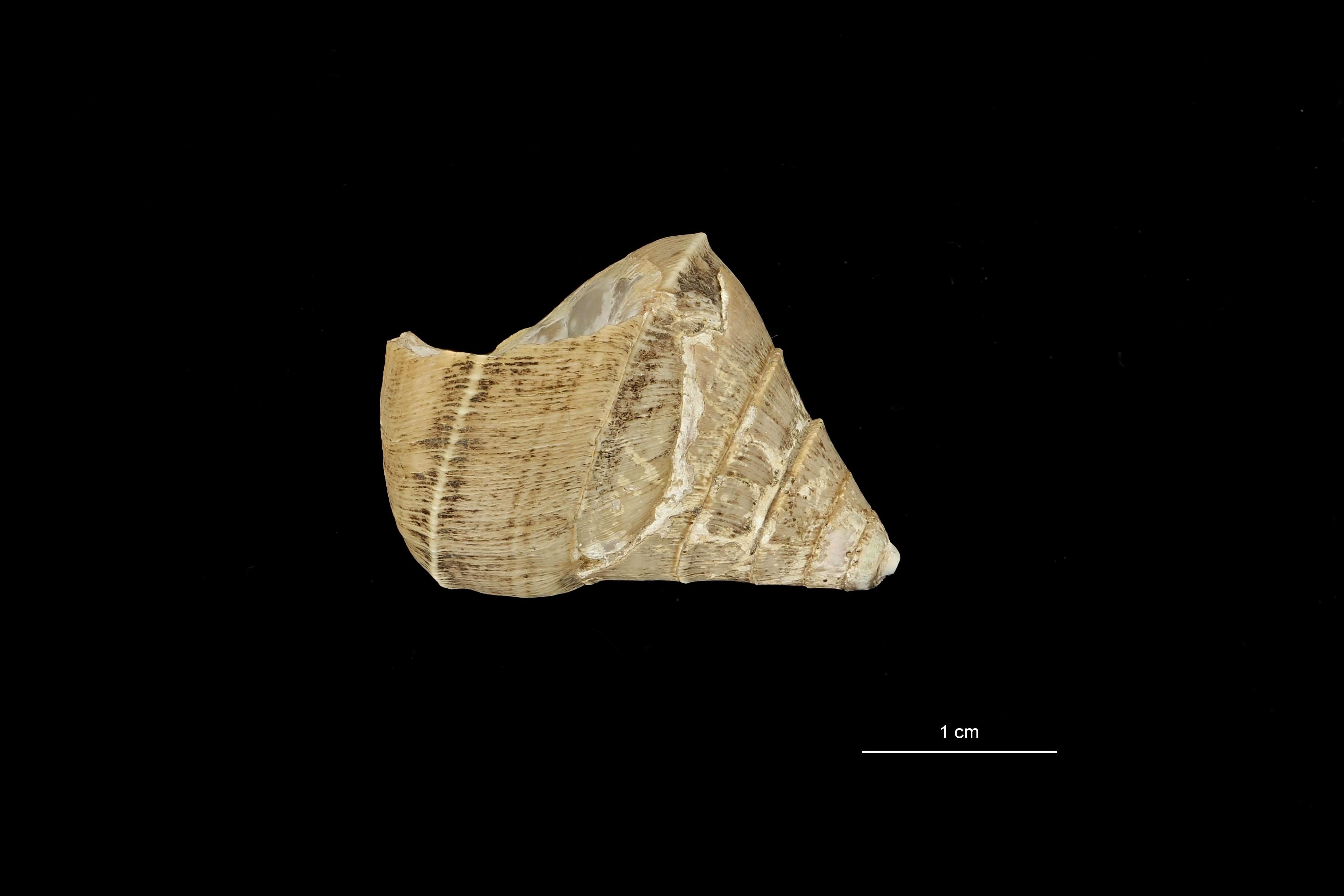 BE-RBINS-INV PARATYPE MT 781 Bathybembix woodmasoni LATERAL.jpg