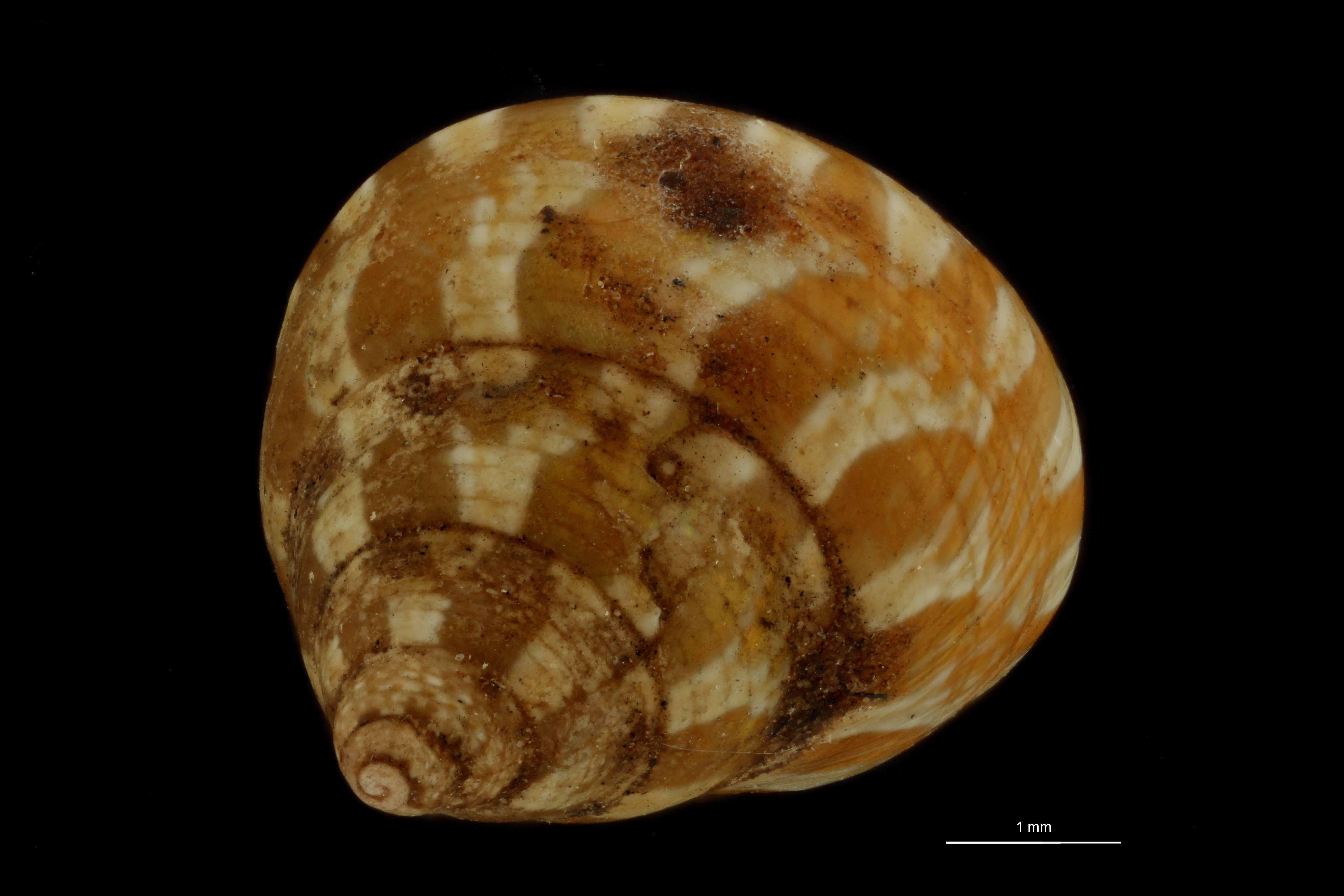 BE-RBINS-INV  MT.3723 Trochus tiberianus st D.jpg