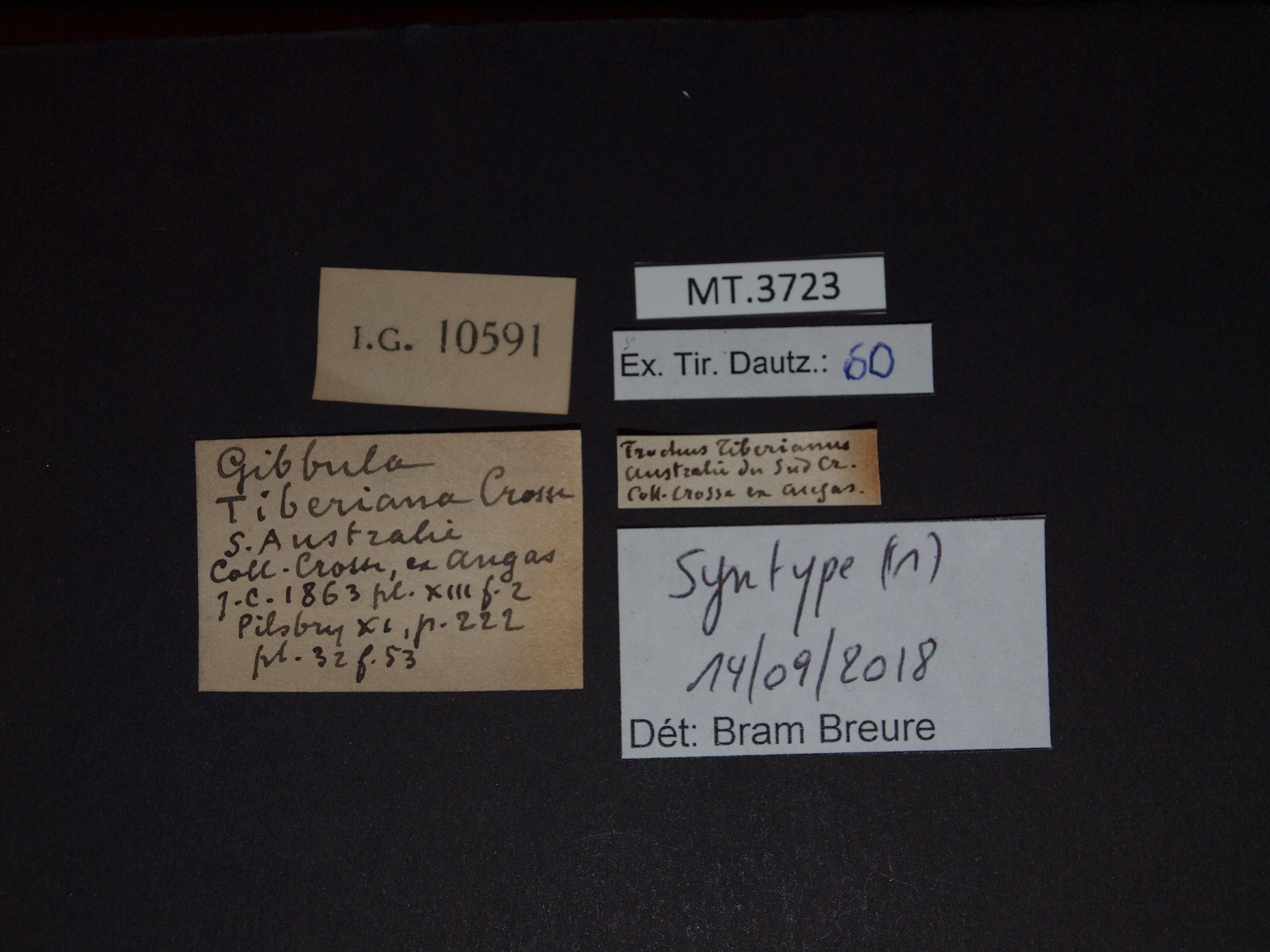 BE-RBINS-INV  MT.3723 Trochus tiberianus st Lb.jpg