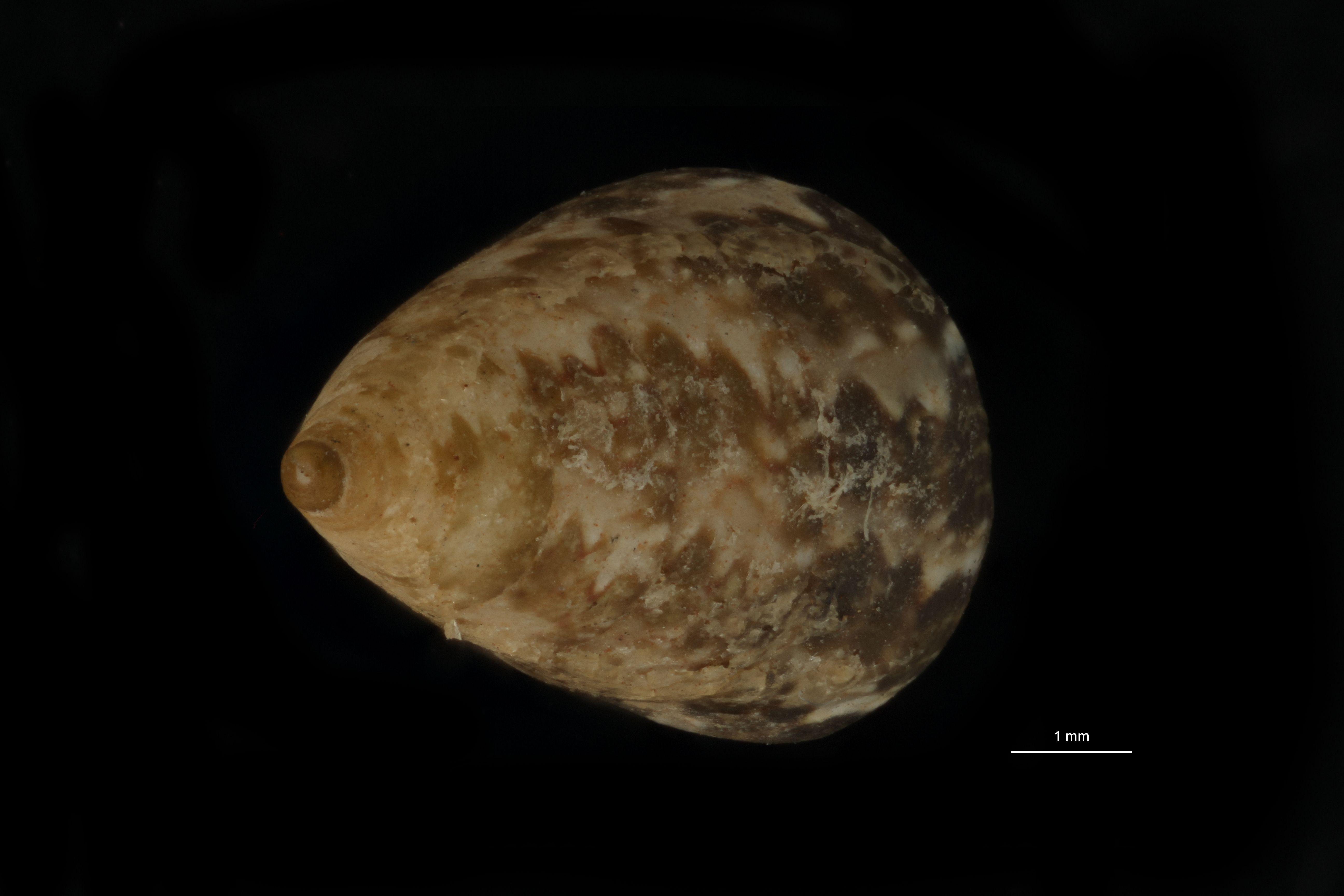 BE-RBINS-INV MT 779 Calliostoma oberwimmeri pt D.jpg