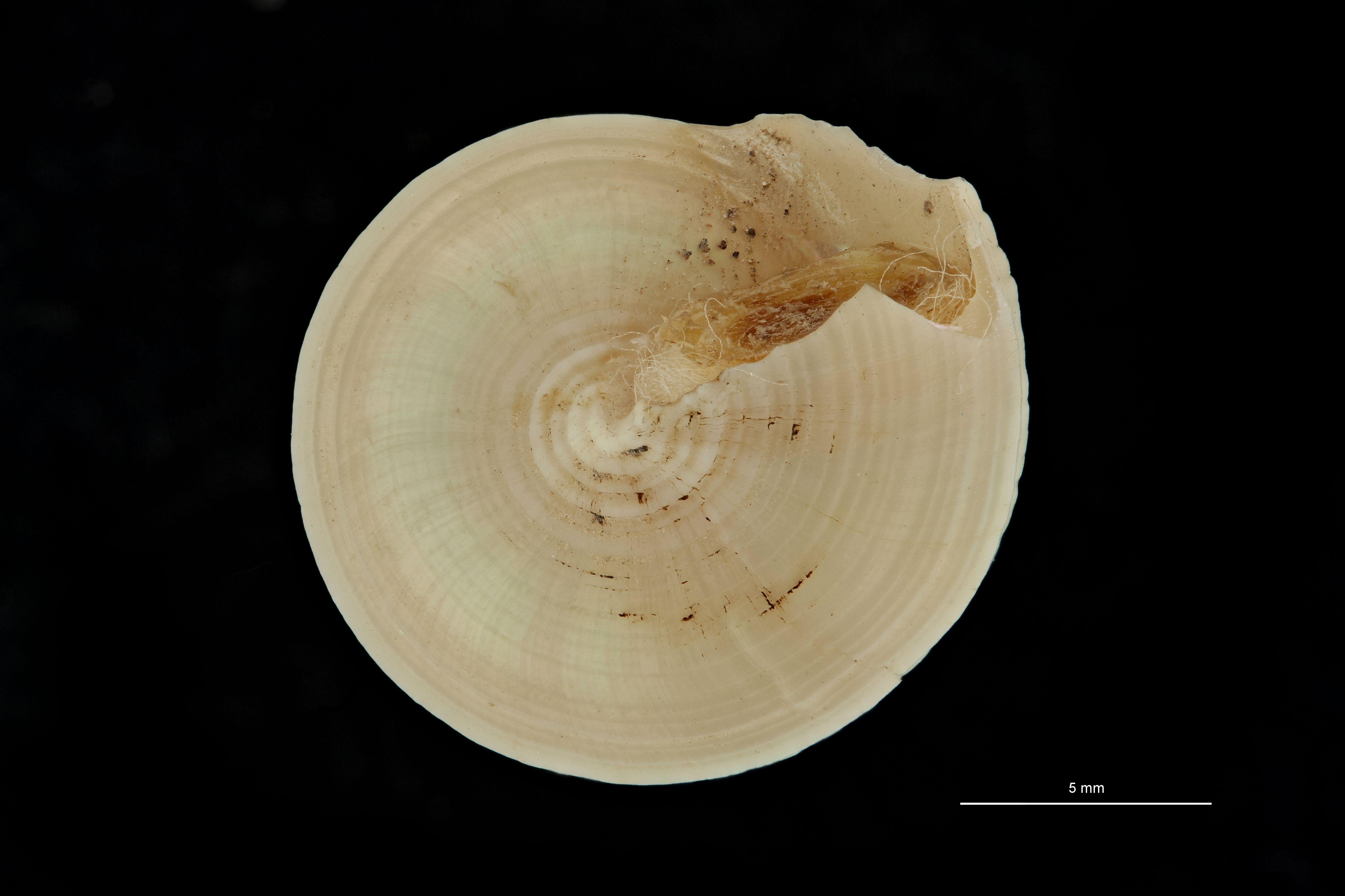 BE-RBINS-INV PARATYPE MT 780 Calliostoma triporcatum var. grimaldii BUCAL.jpg