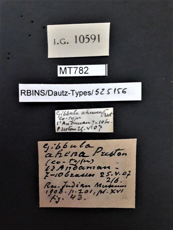 BE-RBINS-INV PARATYPE MT 782 Gibbula ahena LABELS.jpg