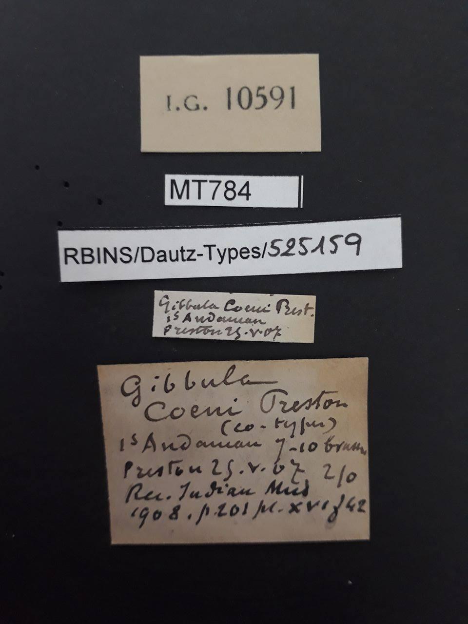 Gibbula coeni pt (ct).jpg