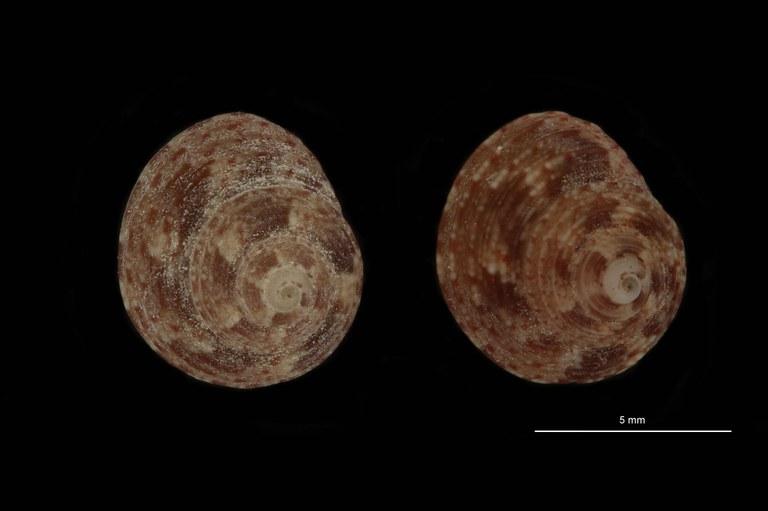 BE-RBINS-INV PARATYPE MT 785 Gibbula coeni GROUPE.jpg