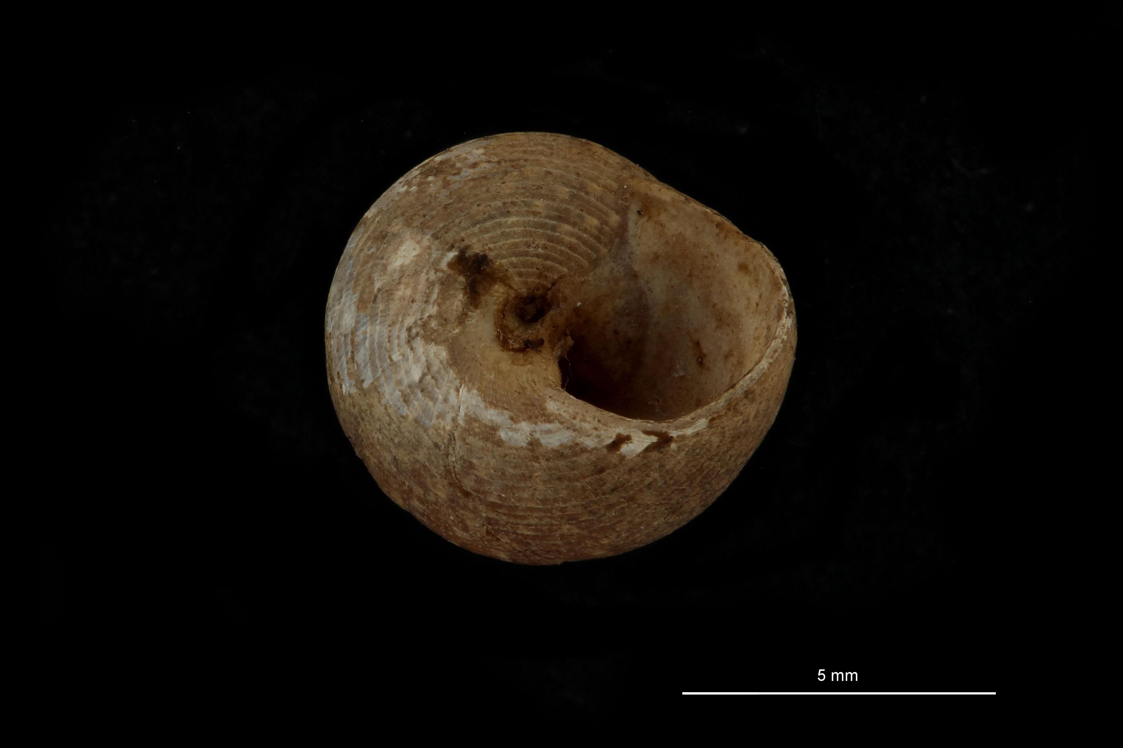 Gibbula tenuilirata pt U.jpg