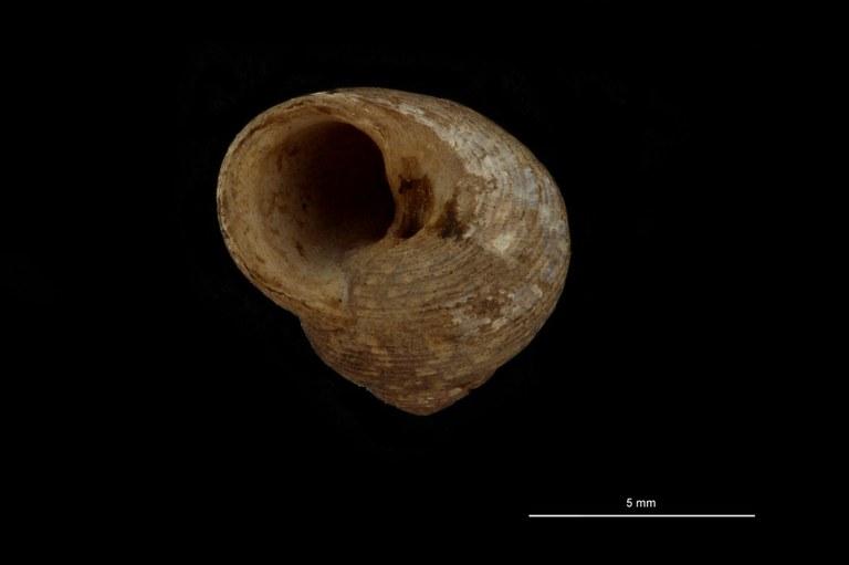 BE-RBINS-INV PARATYPE MT 769 Gibbula tenuilirata Frontal.jpg