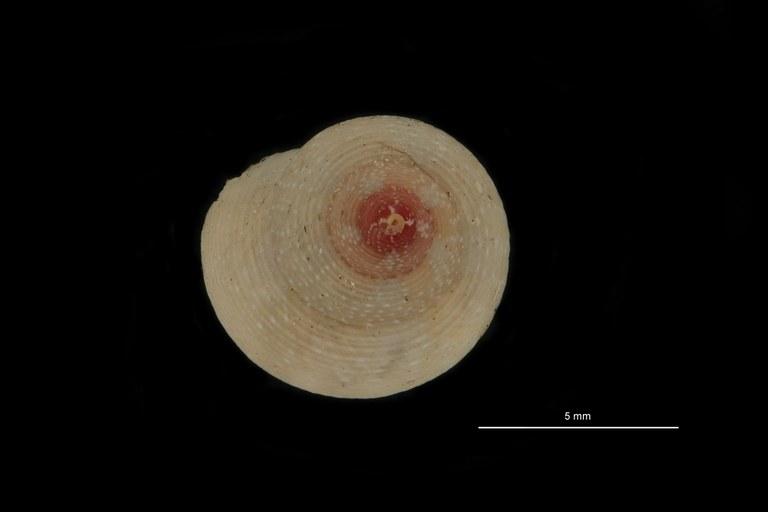 BE-RBINS-INV PARATYPE MT 787 Gibbula turbinoides var. albida DORSAL.jpg