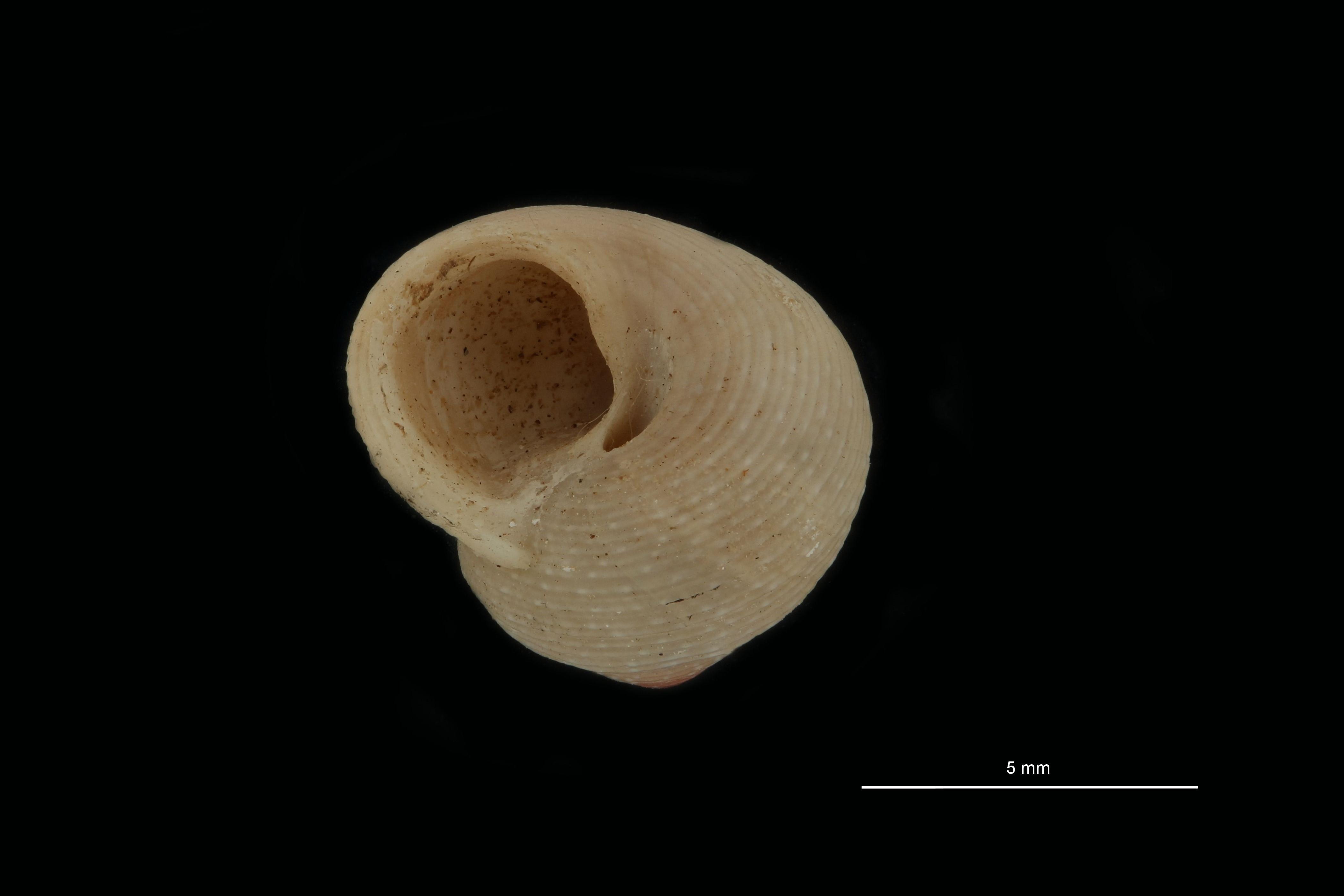 BE-RBINS-INV PARATYPE MT 787 Gibbula turbinoides var. albida FRONTAL.jpg